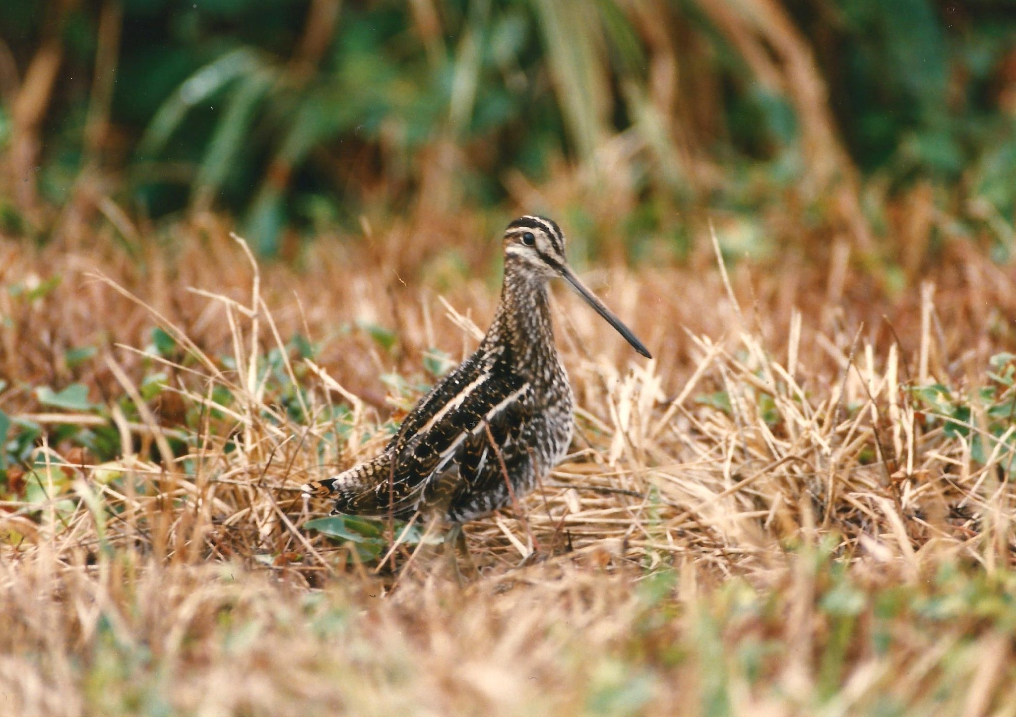 THE COMMON SNIPE by Hope Atwood Dayhoff
