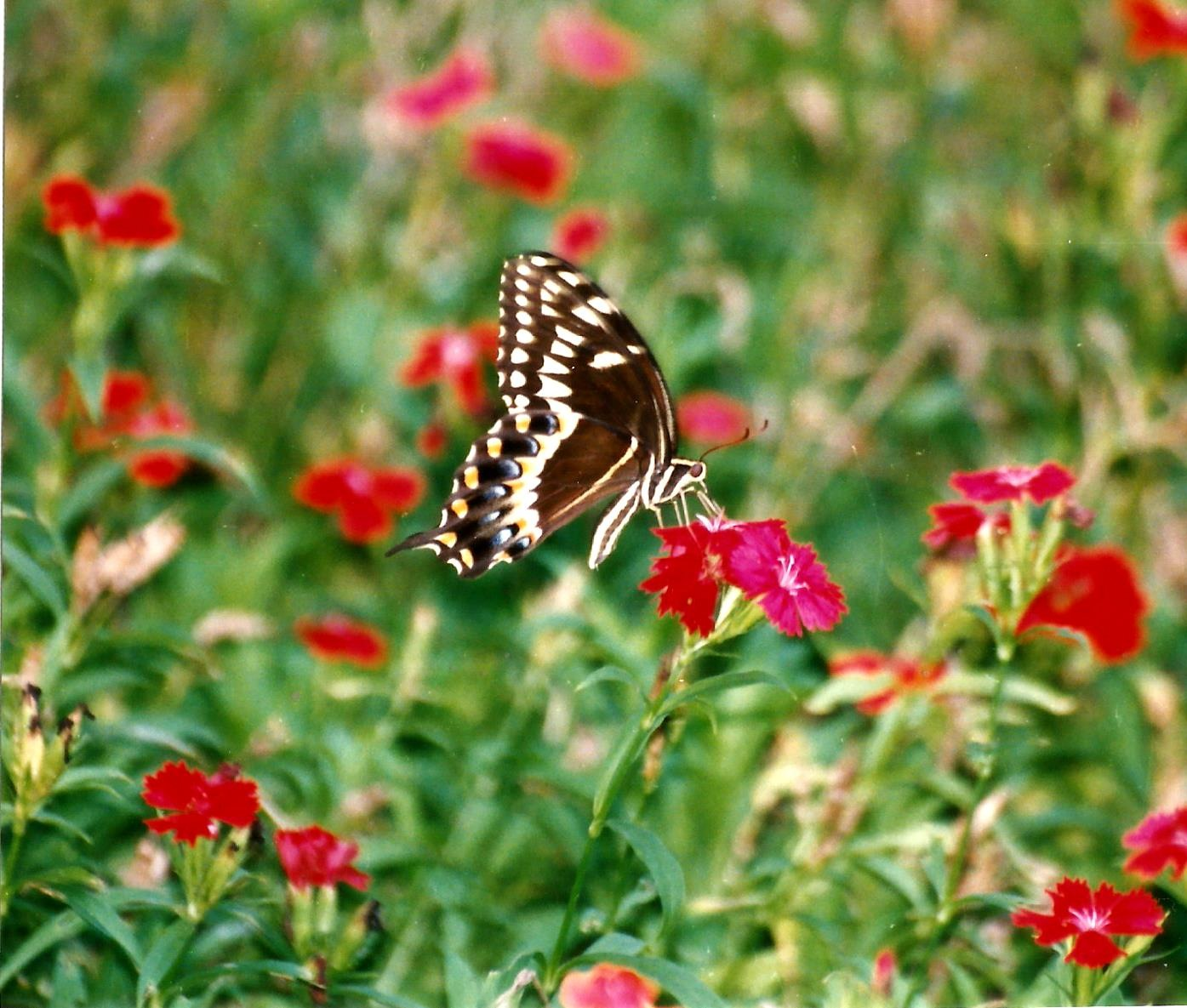 THE PALAMEDES SWALLOWTAIL by Hope Atwood Dayhoff