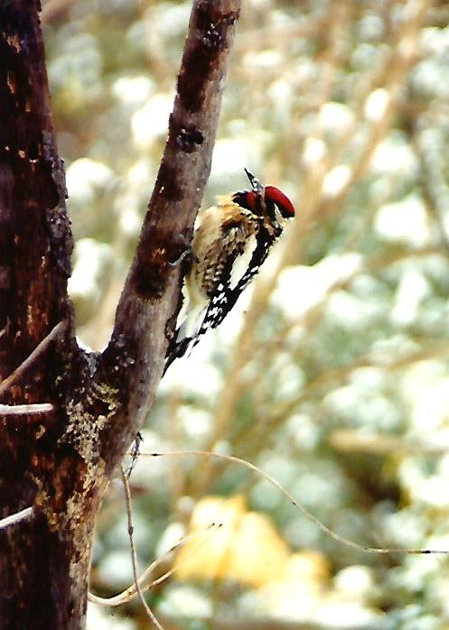 THE YELLOW-BELLIED SAPSUCKER by Hope Atwood Dayhoff
