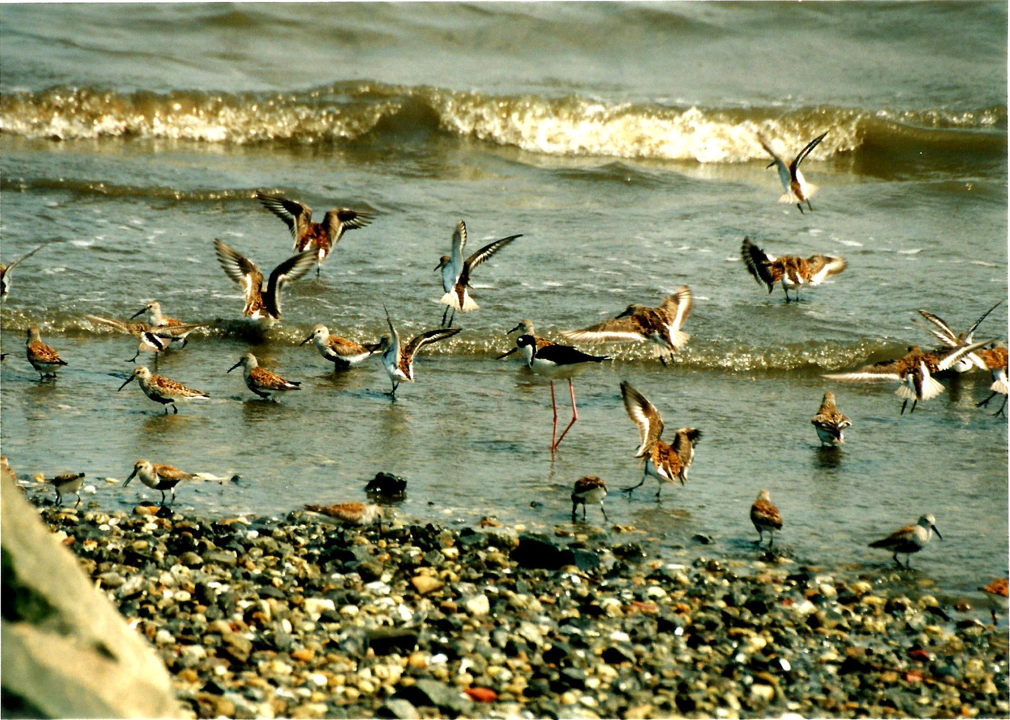 PORT MAYON'S SHOREBIRDS by Hope Atwood Dayhoff