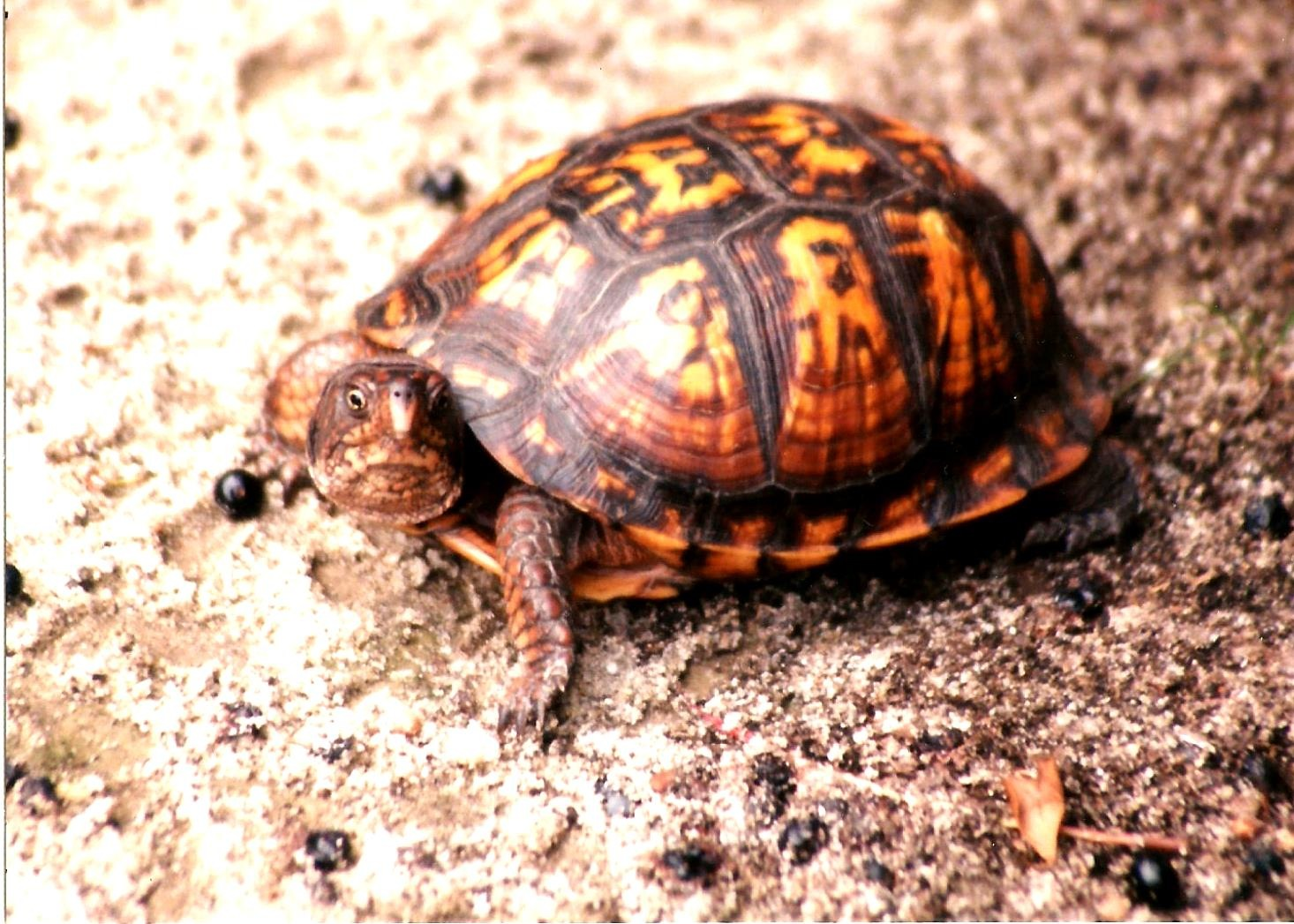 THE WILD BOX TURTLE by Hope Atwood Dayhoff
