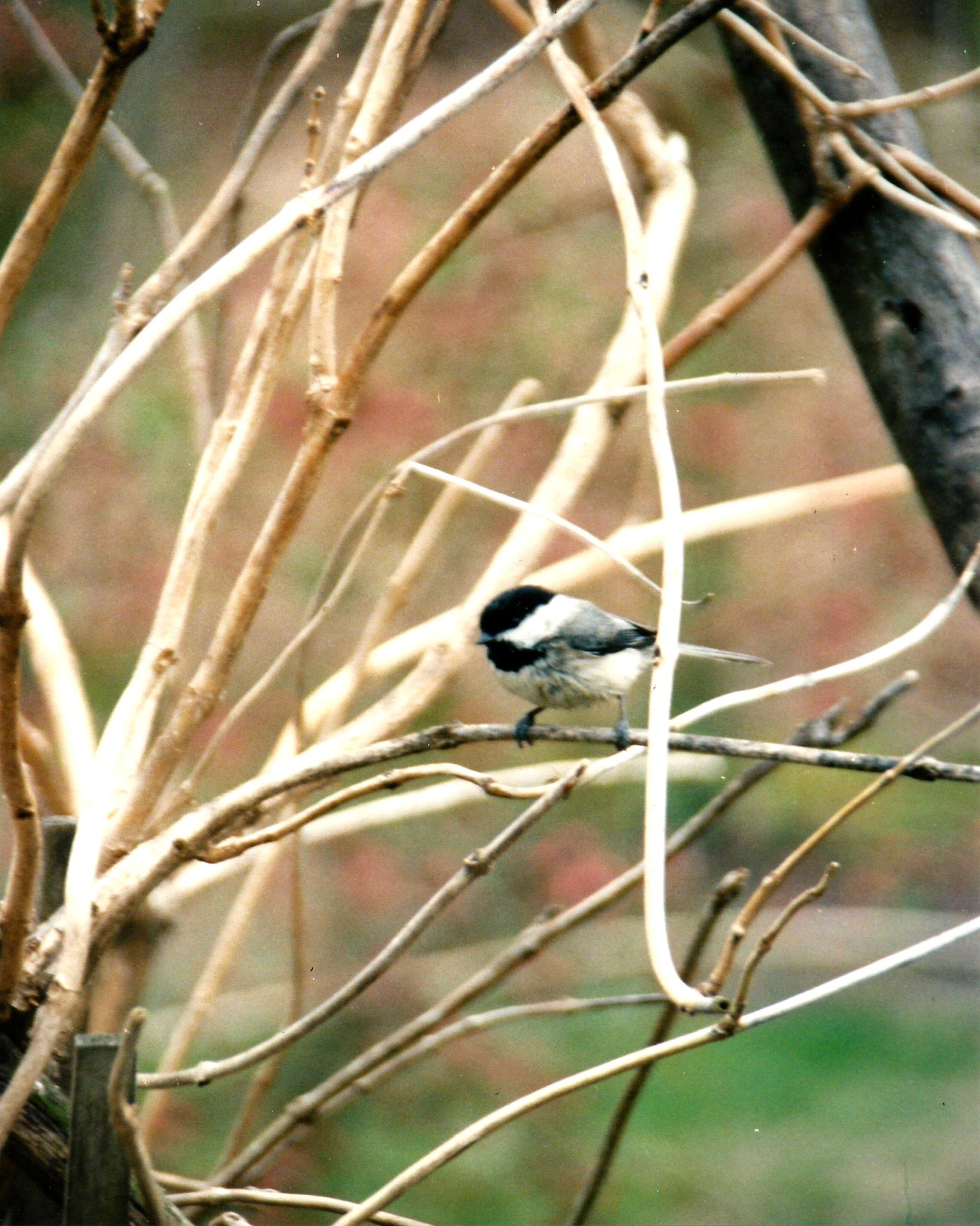 THE BLACK-CAPPED CHICKADEE by Hope Atwood Dayhoff