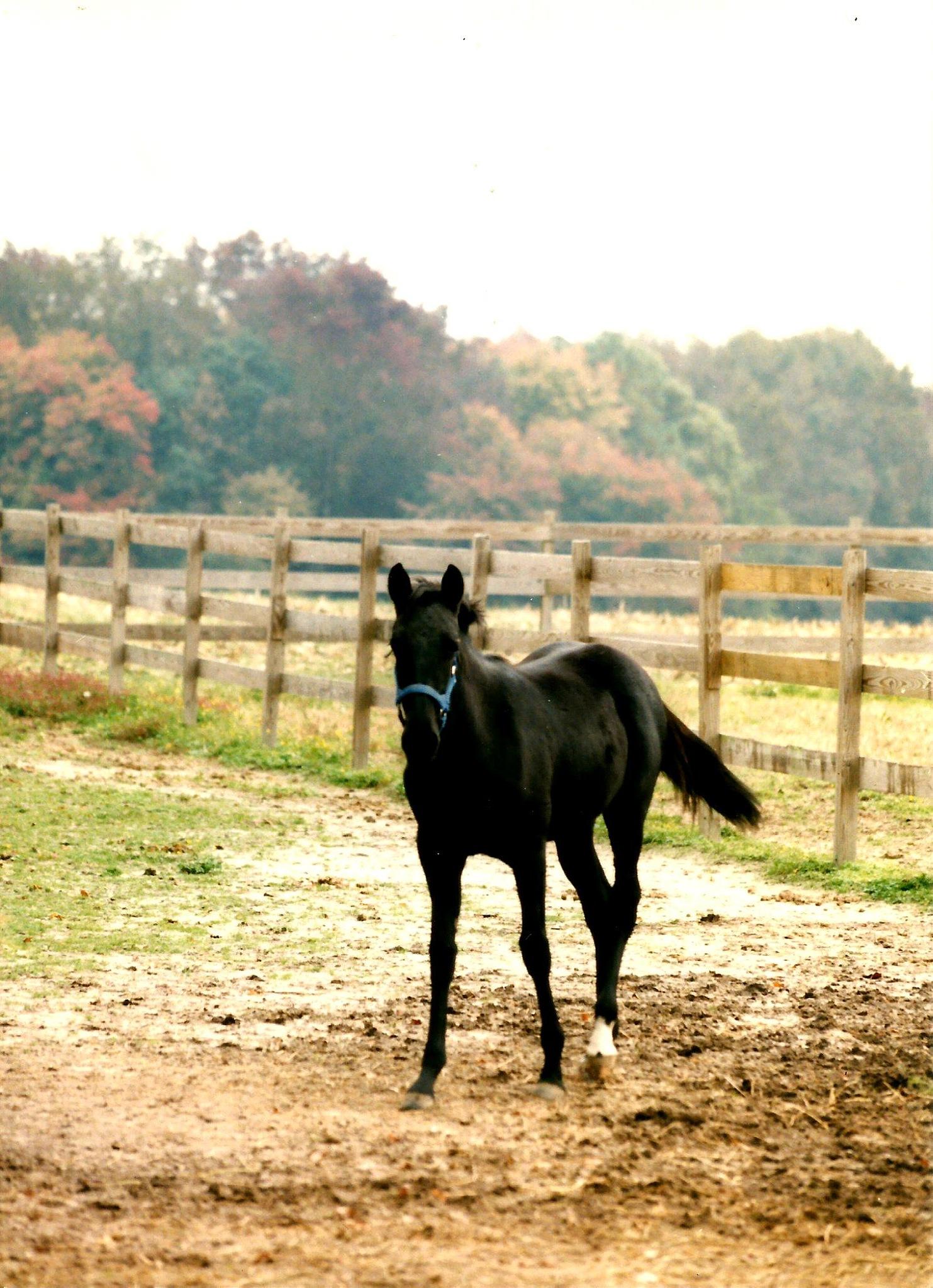 BLACK VELVET THE COLT by Hope Atwood Dayhoff