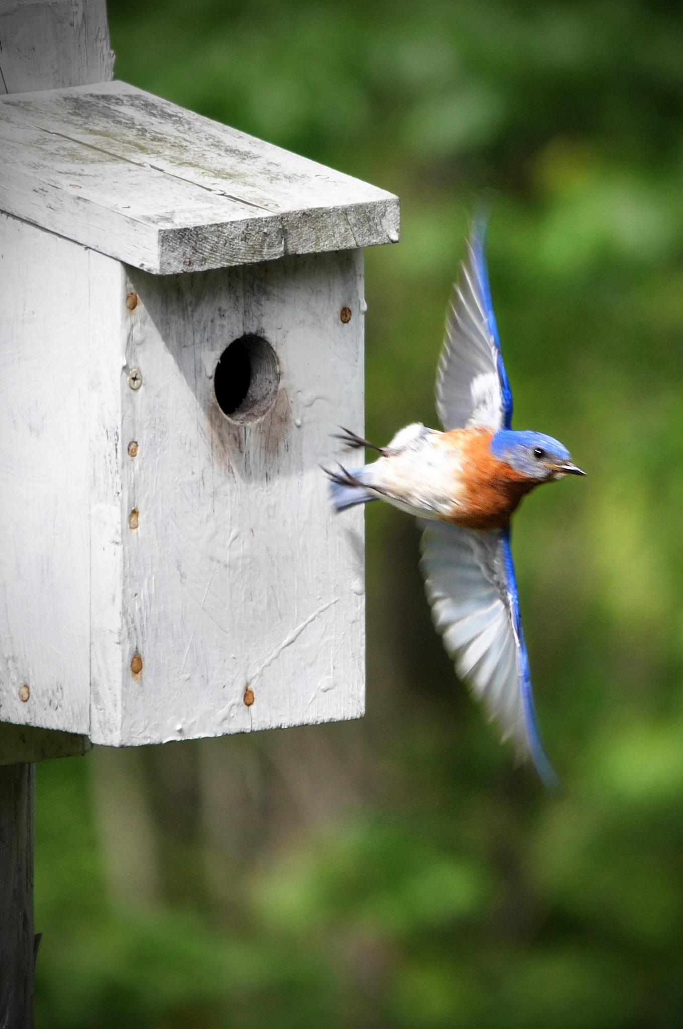 Bluebird taking flight by KevinMorganDesigns
