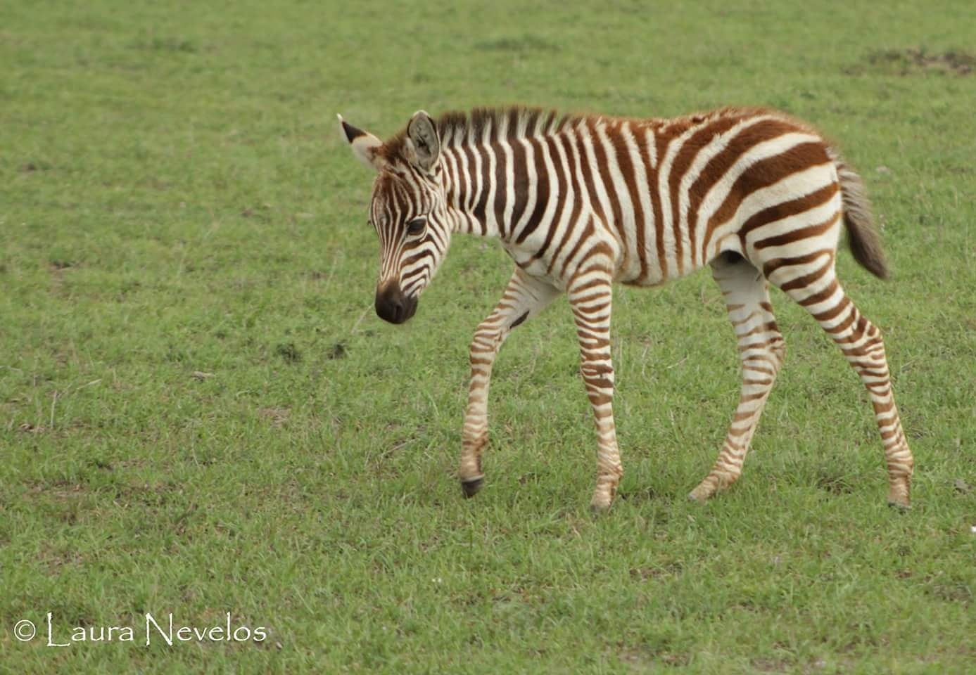 Young zebra foal  by LauraNevelosPhotography