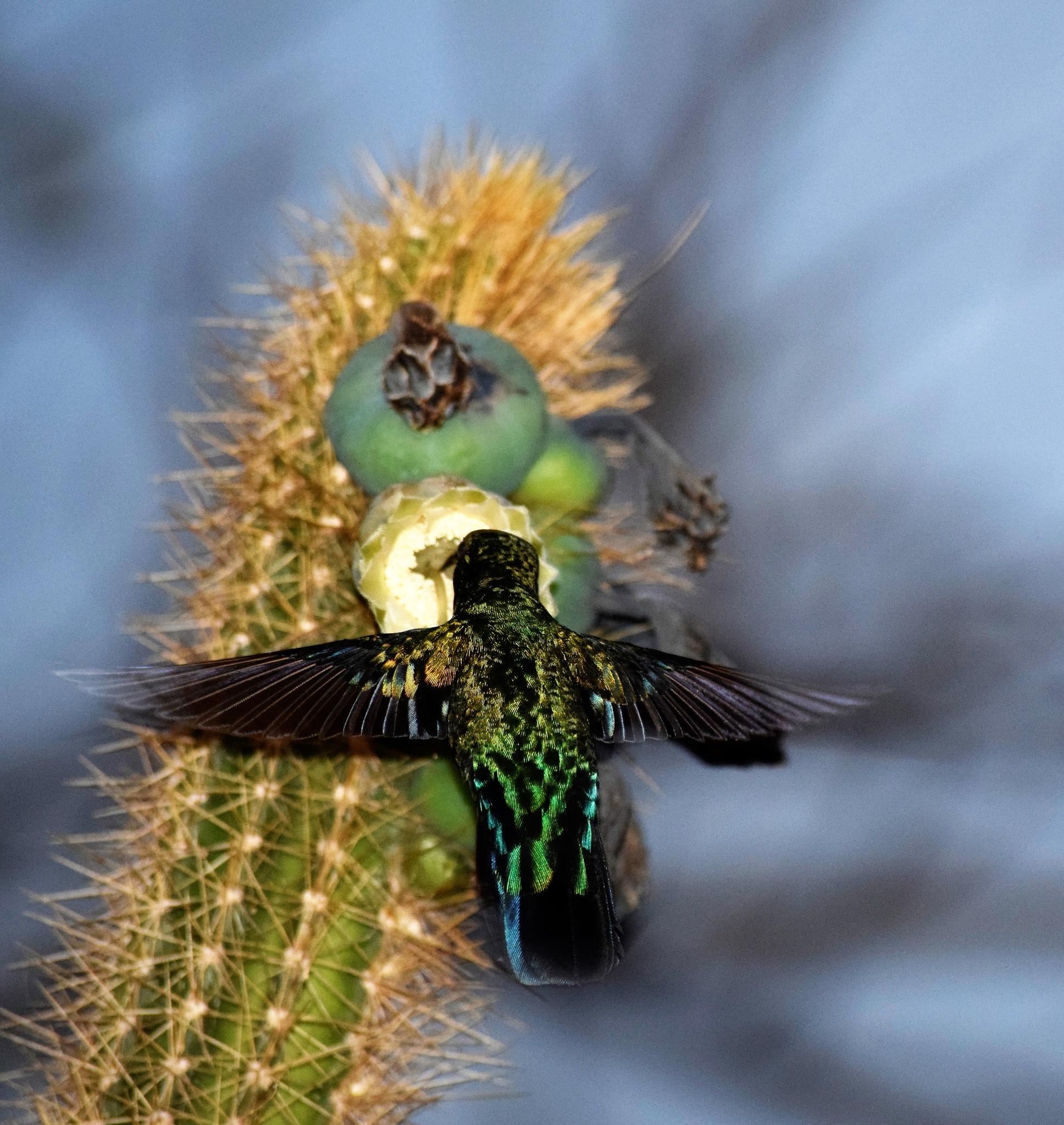 Hummingbird  by JewelHunter
