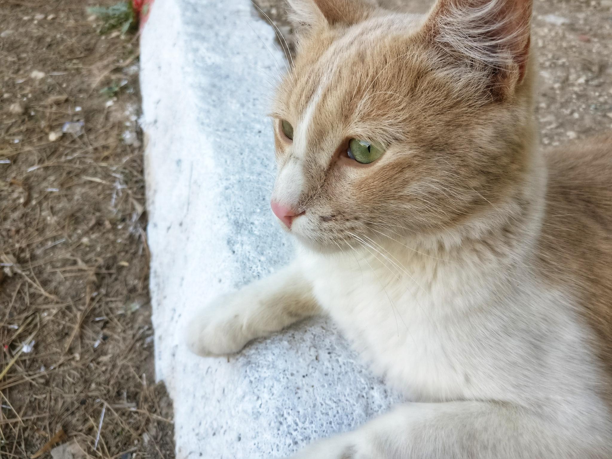 Cat by Ahmed Hamida