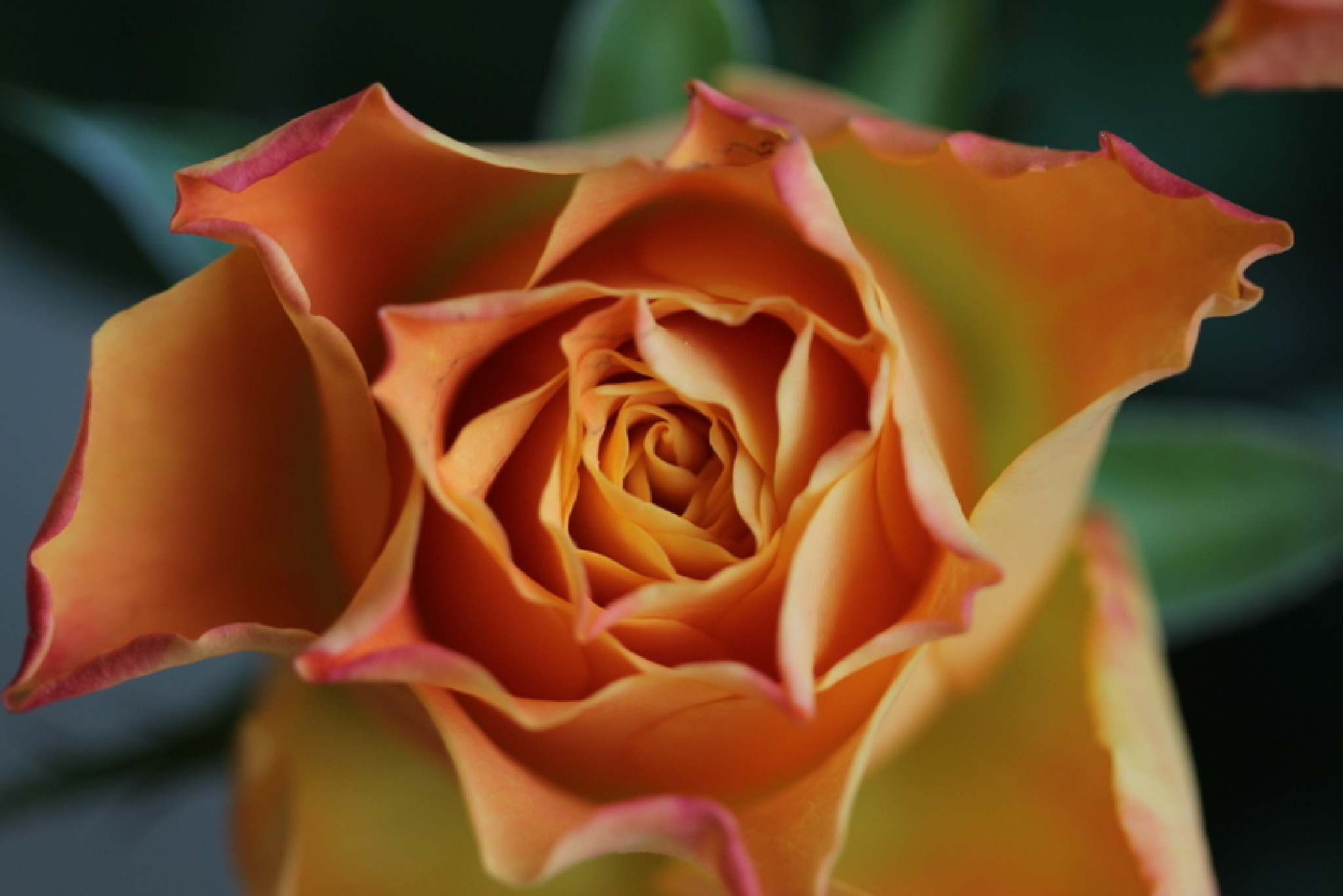 rose by Henry Geerling