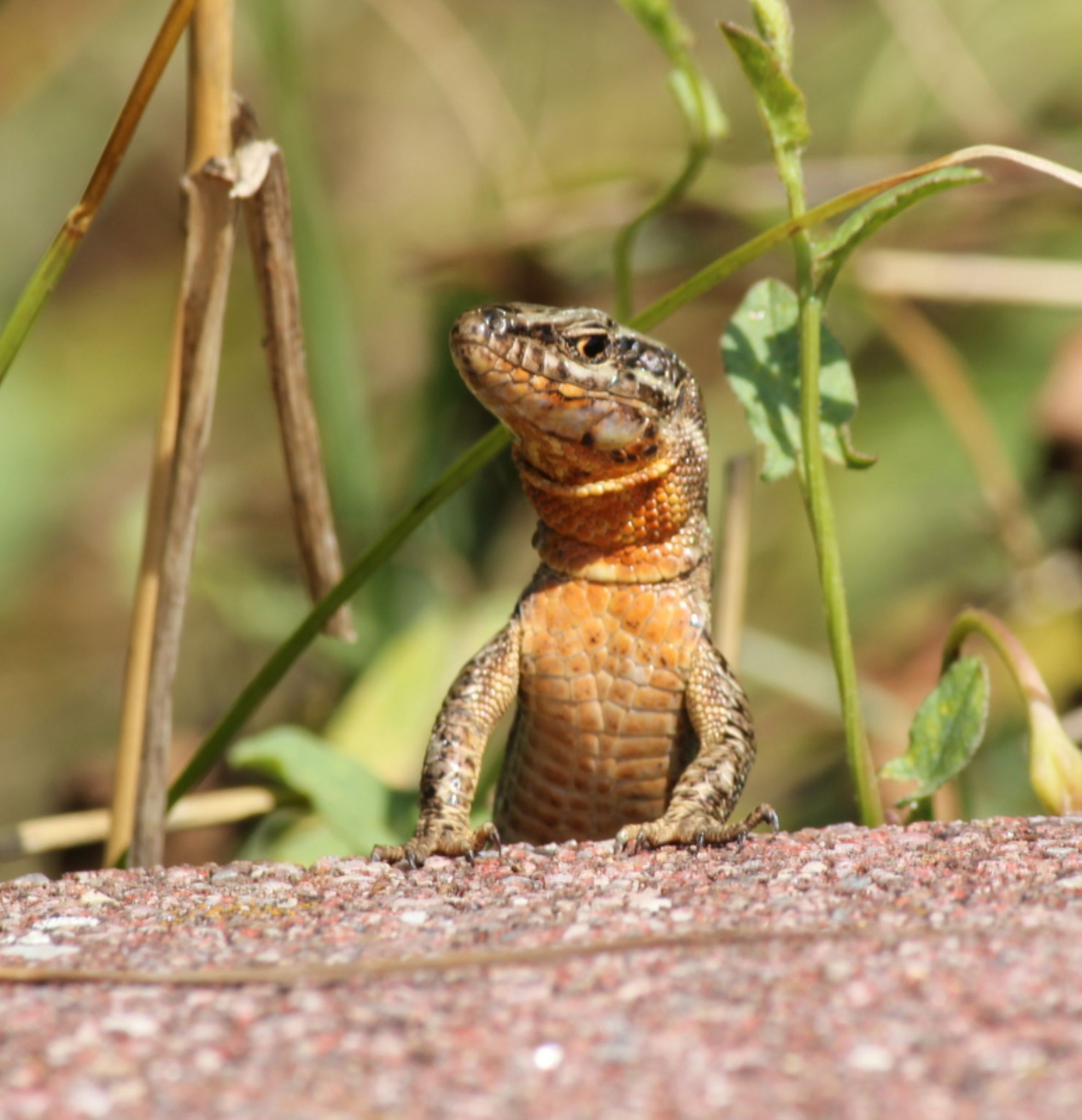 Lizard by Henry Geerling