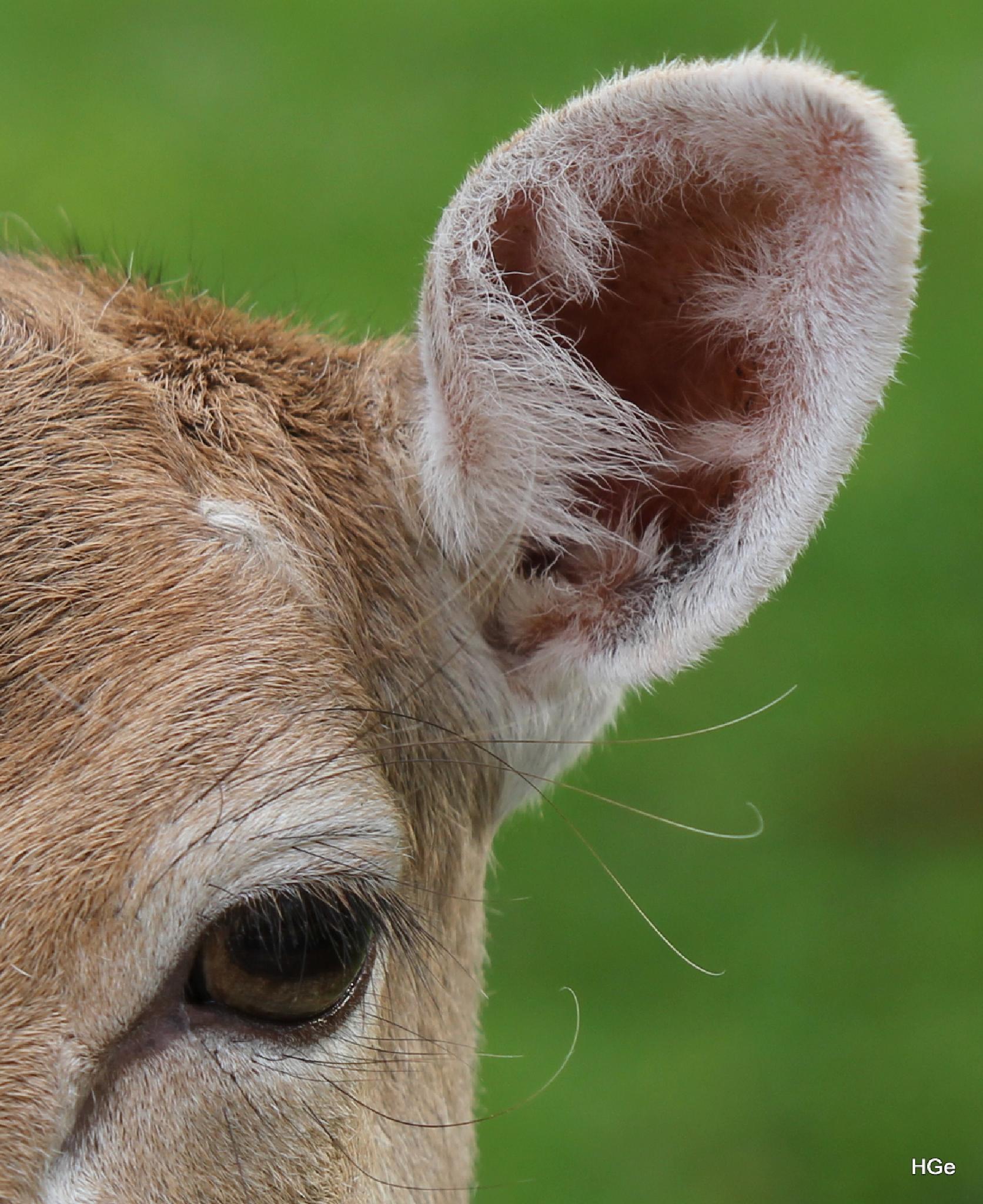 Deer by Henry Geerling