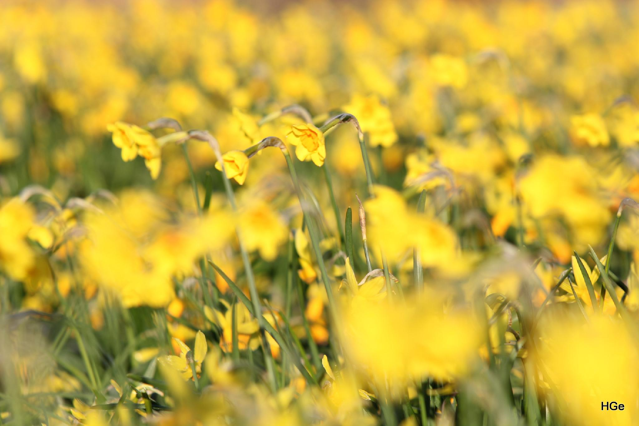 A lot of yellow by Henry Geerling
