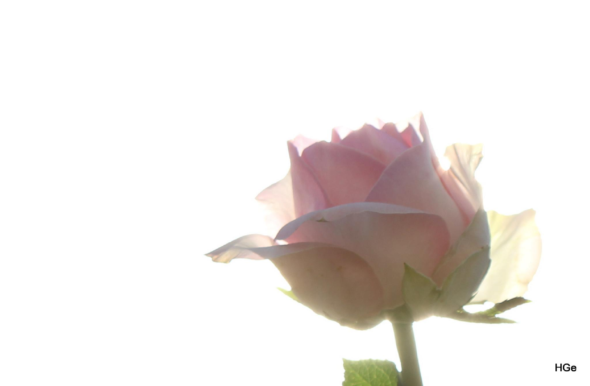 Rose in the sun by Henry Geerling