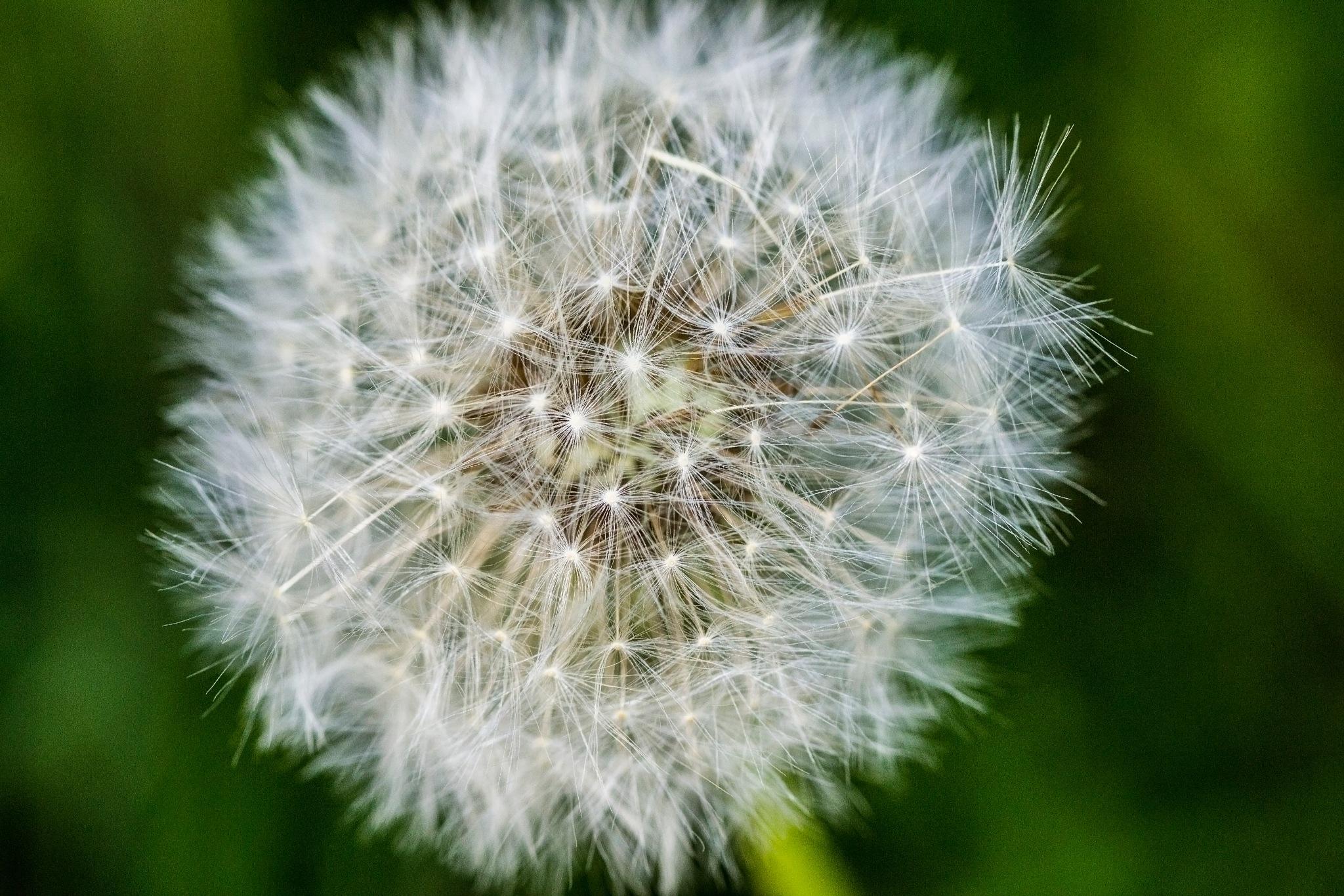Dandelions by Patrick J. Whitfield