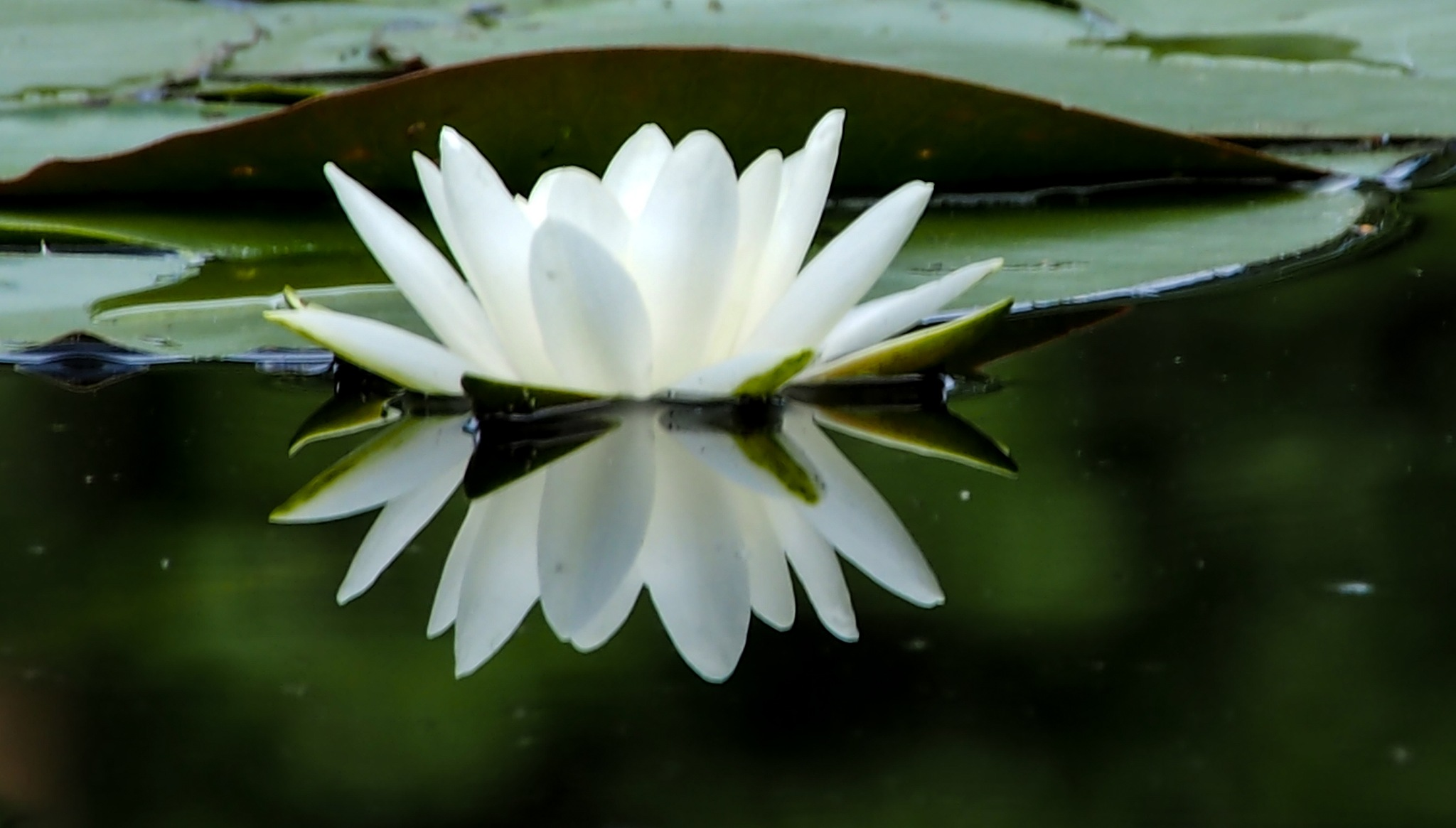 Water lily  by sankhanilayrc