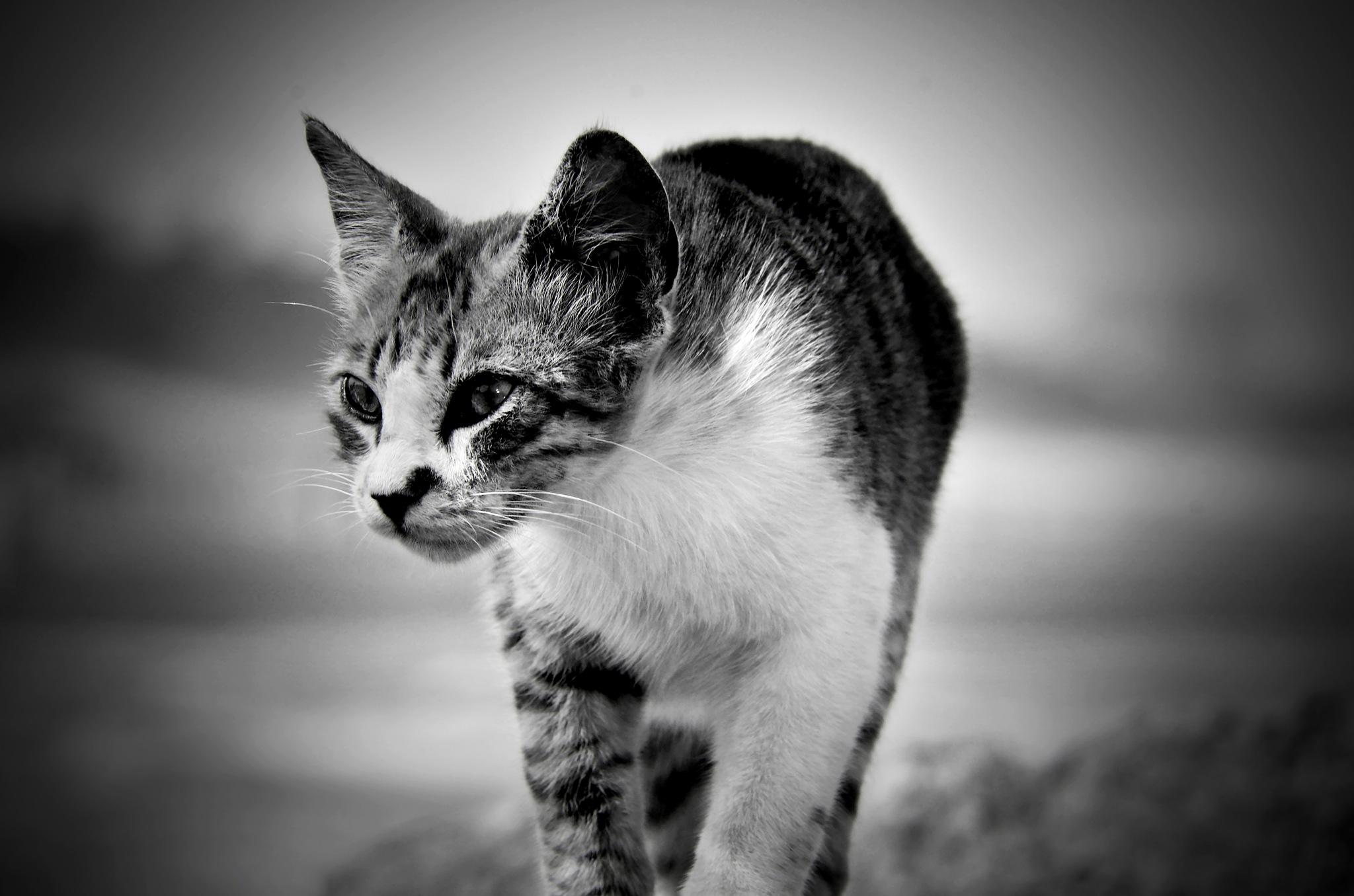 BW CAT by Moshe Harosh