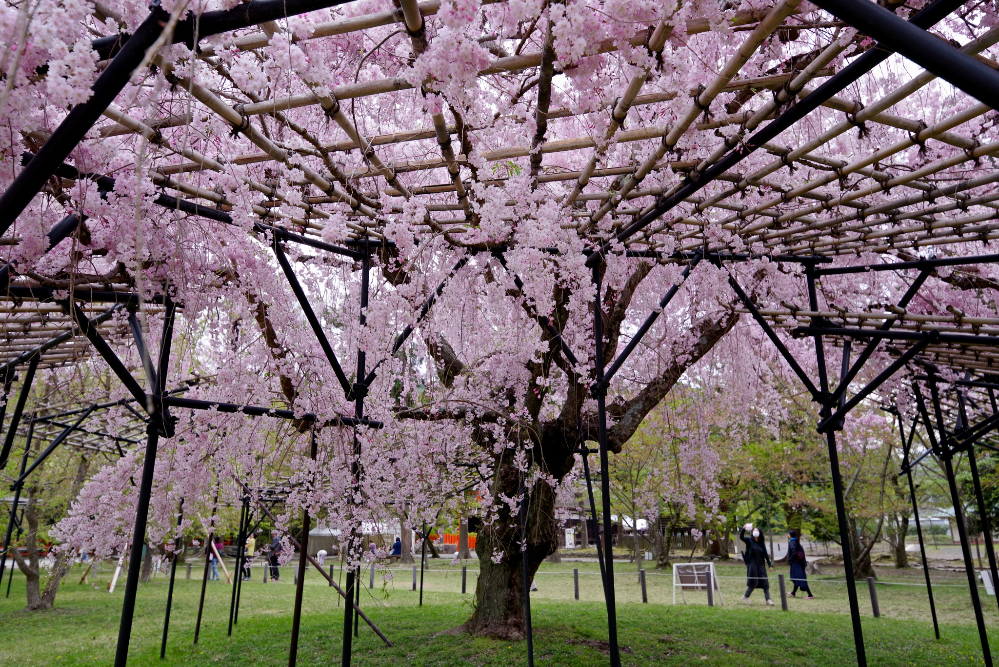 The Big Cherry Tree by 一日写真一枚