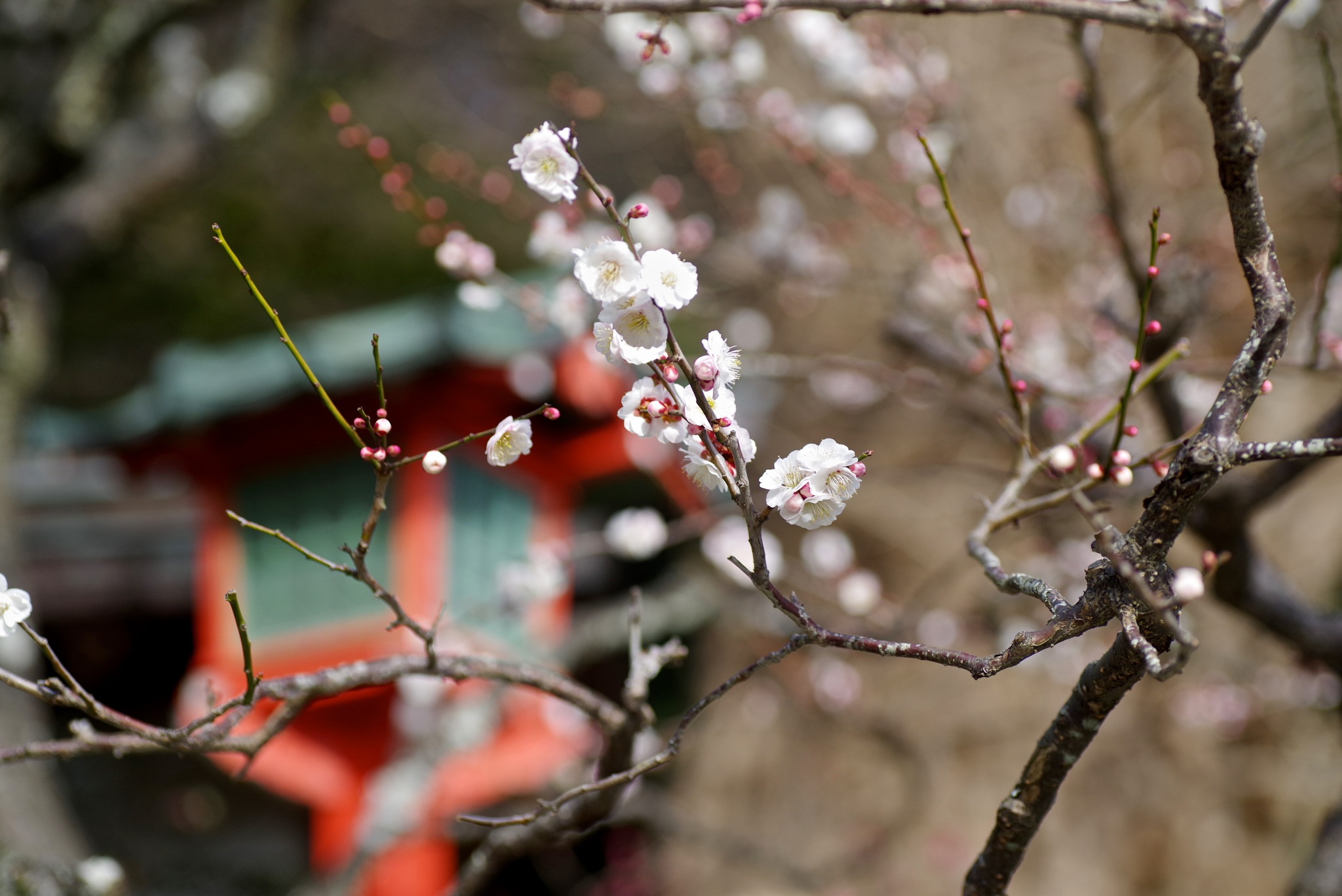 Shrine and Plum by 一日写真一枚