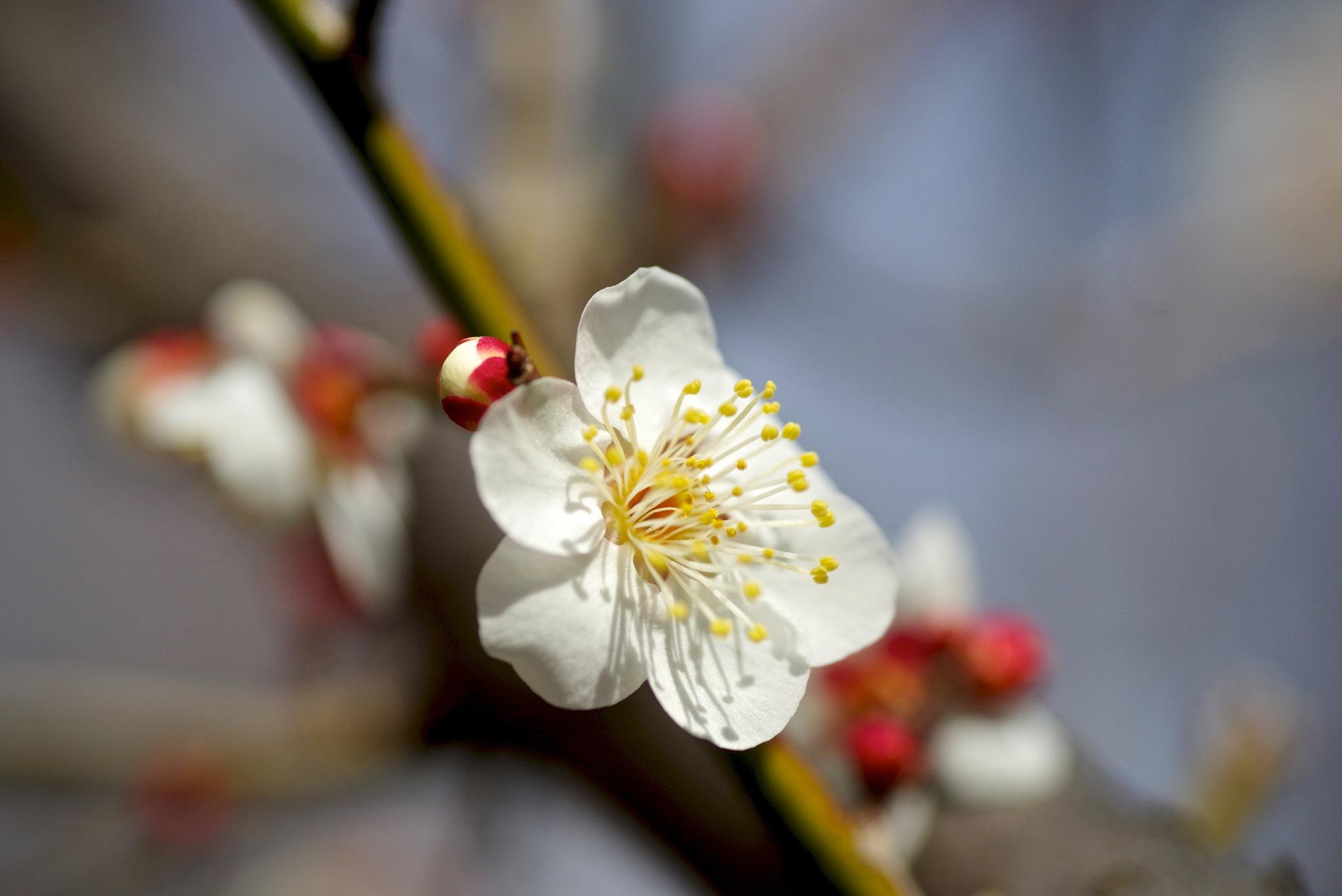 Photo in Macro #plum #flower #blossom #bloom #pentax #tamron #macro #machida #tokyo