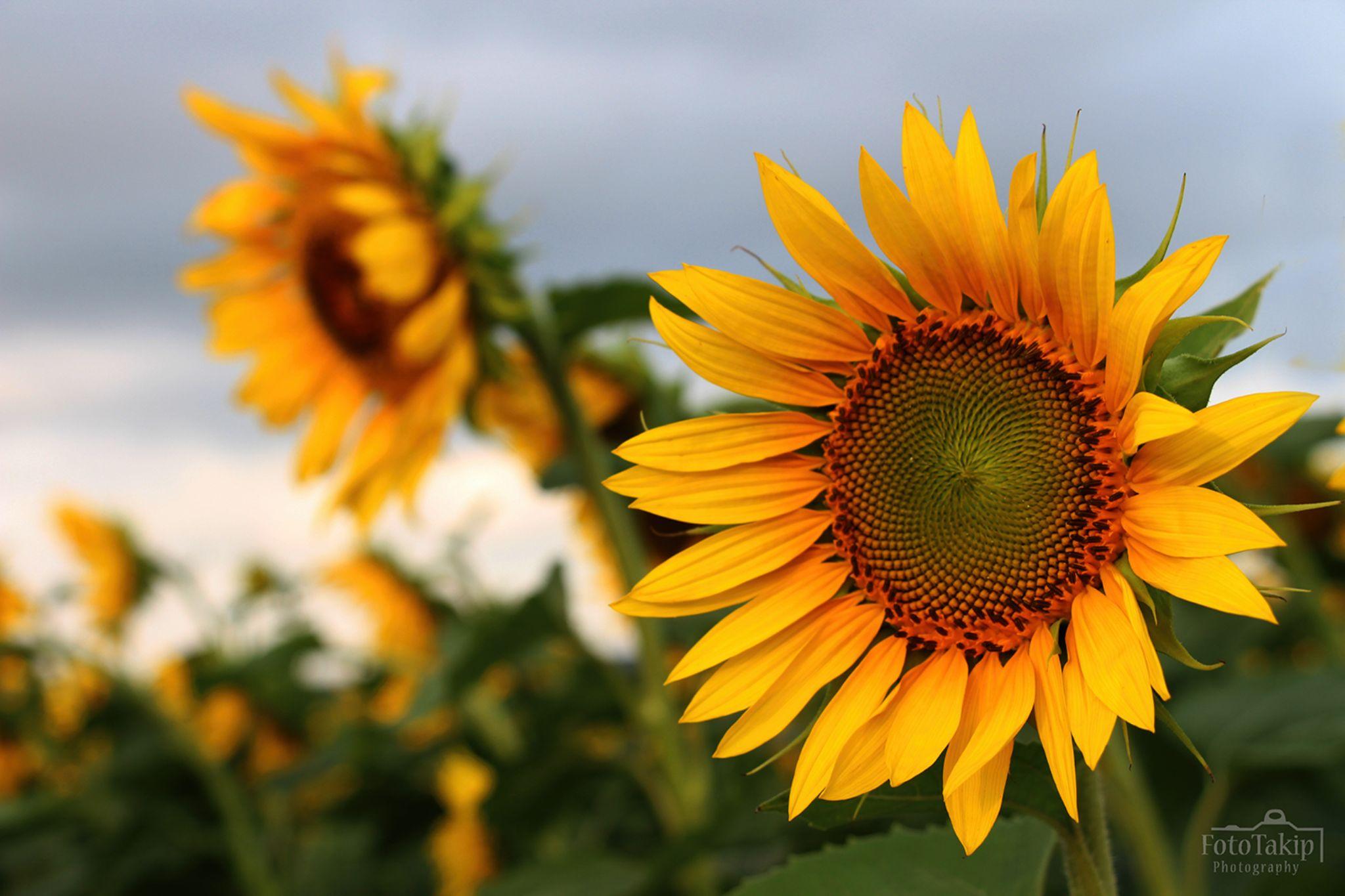 Sunflower.. by FotoTakip Photography