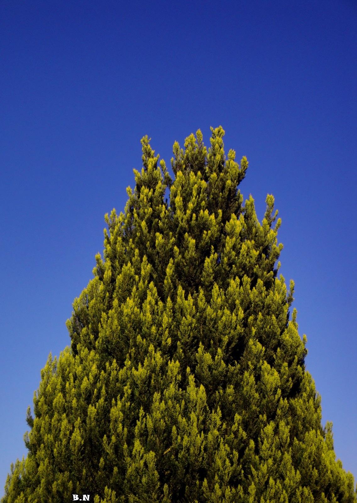 Cypress tree by Basel H Daneel