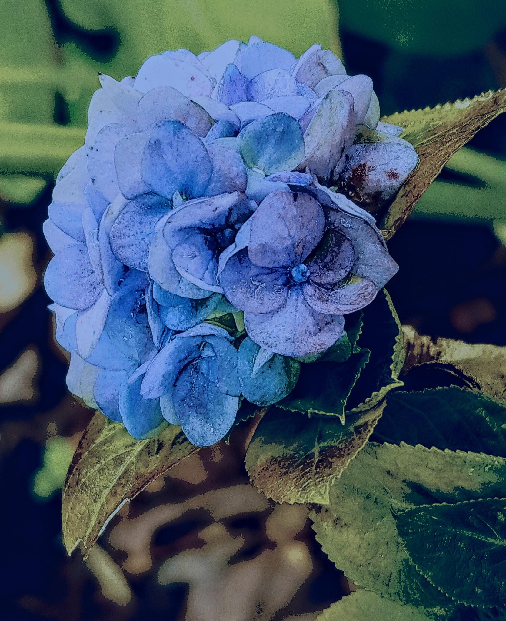 Hydrangea by Amanda Savage