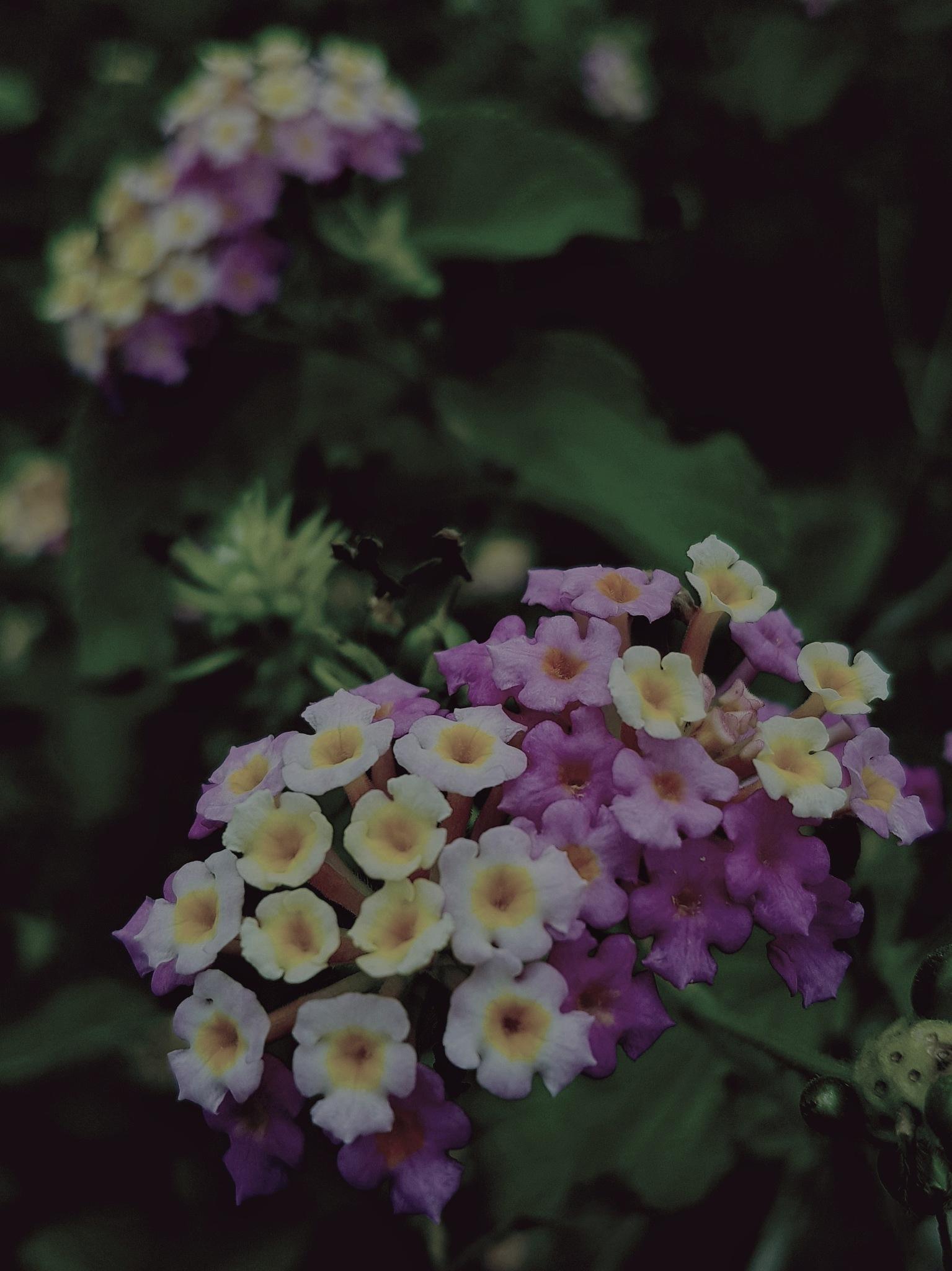 Lantana by Amanda Savage