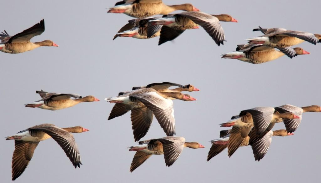 Photo in Animal #greylag geese #geese #greylag goose #goose #bird #birds #wild #wildlife #animal #beauty #beautiful #colour #colours #colourful #sky #flight #action #nature #canon