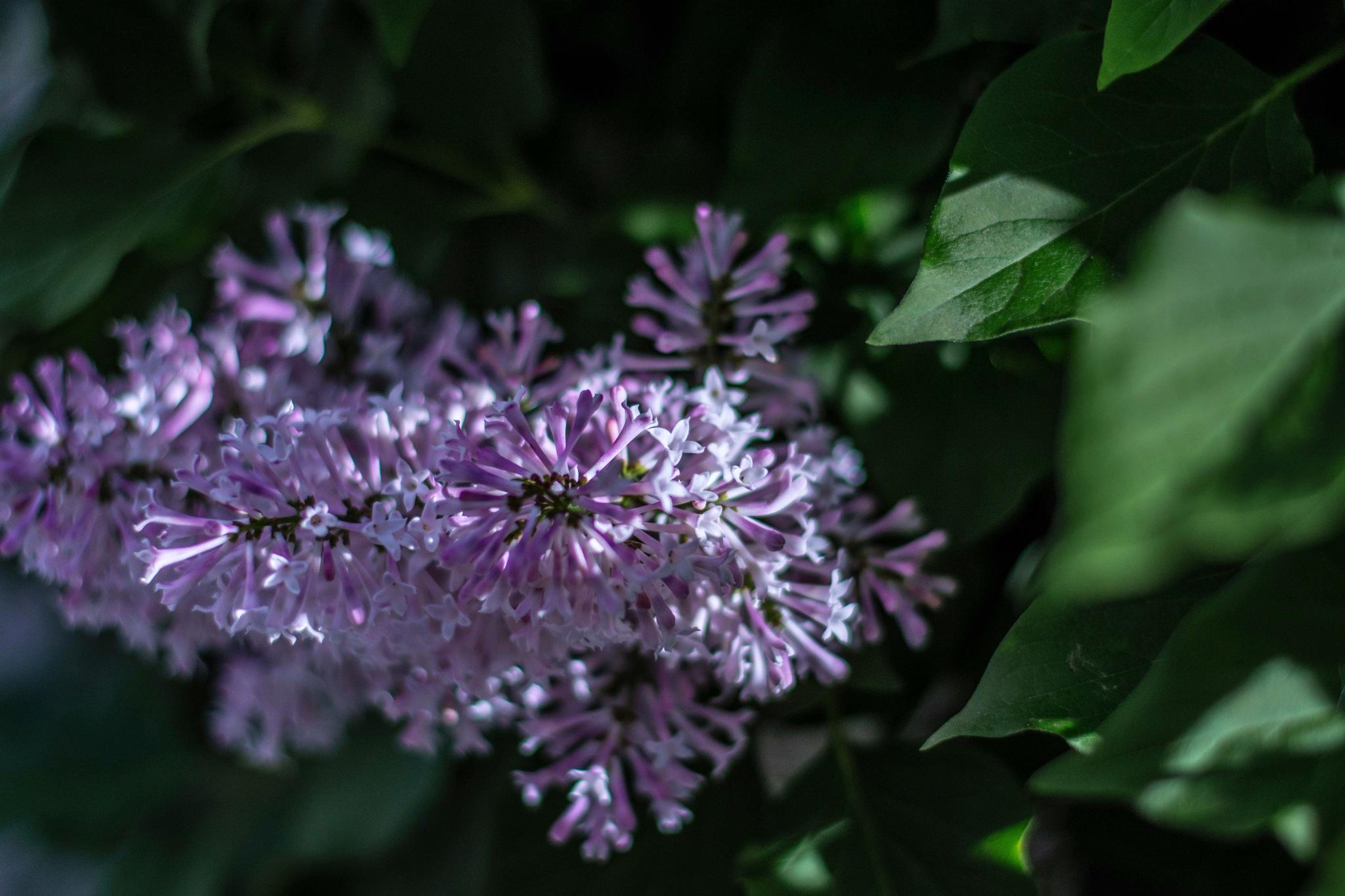 Luscious Low Key Lilac by Randsio Photography