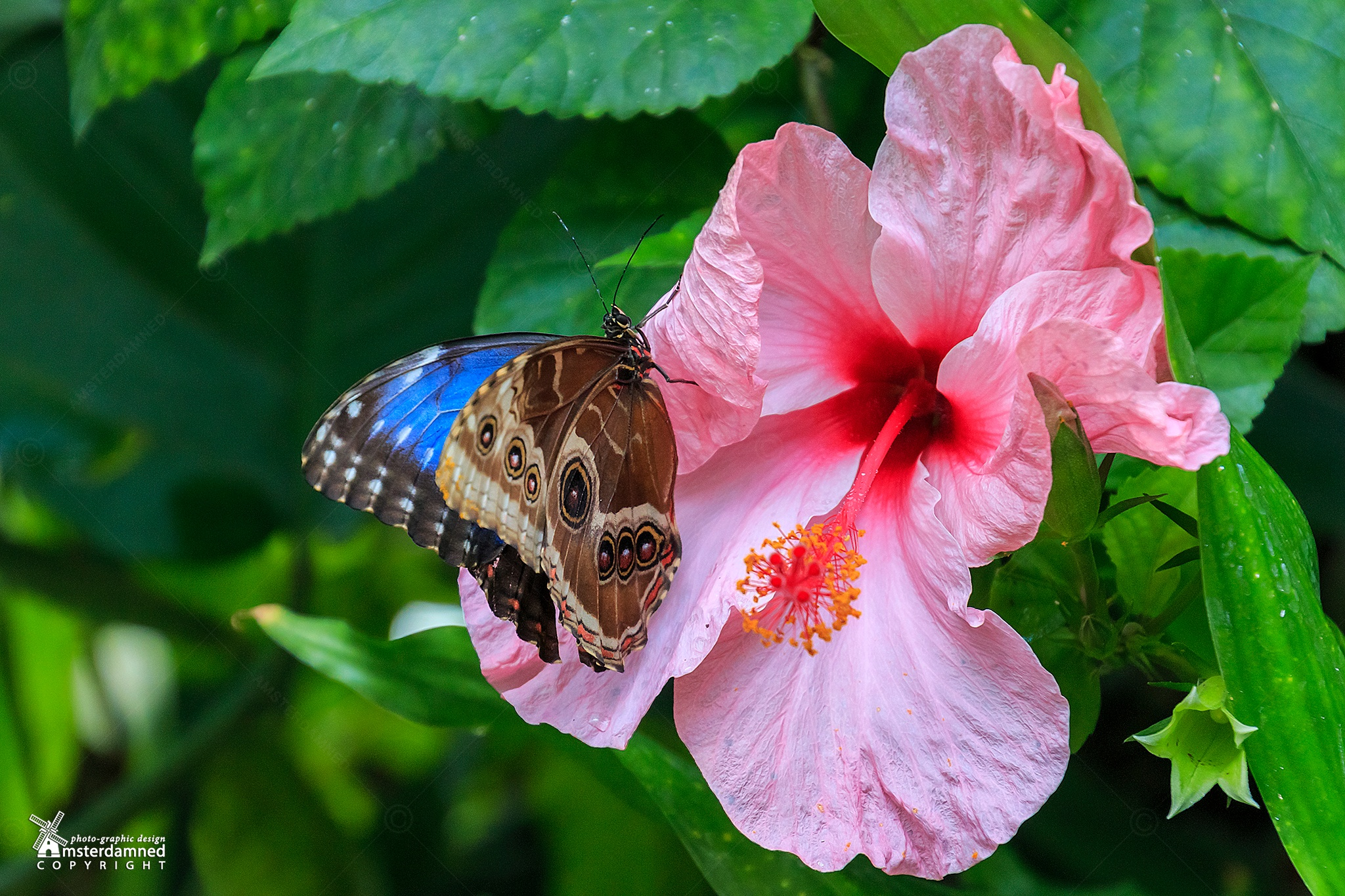Photo in Nature #amsterdamned #leidschendam #holland #netherlands #the netherlands #zuid holland #zuid-holland #vlinders aan de vliet #butterfly park #butterfly #macro #nature #flower #insect #chinese hibiscus #tropical flower #tropical plant #pink flower #pink tropical flower #blue morpho #hibiscus rosa-sinensis #chinese hibiscuschina rose #hawaiian hibiscus #shoeblackplant #plant #tropical hibiscus #pink flowering plant #flowering plant #morpho peleides #blue butterfly
