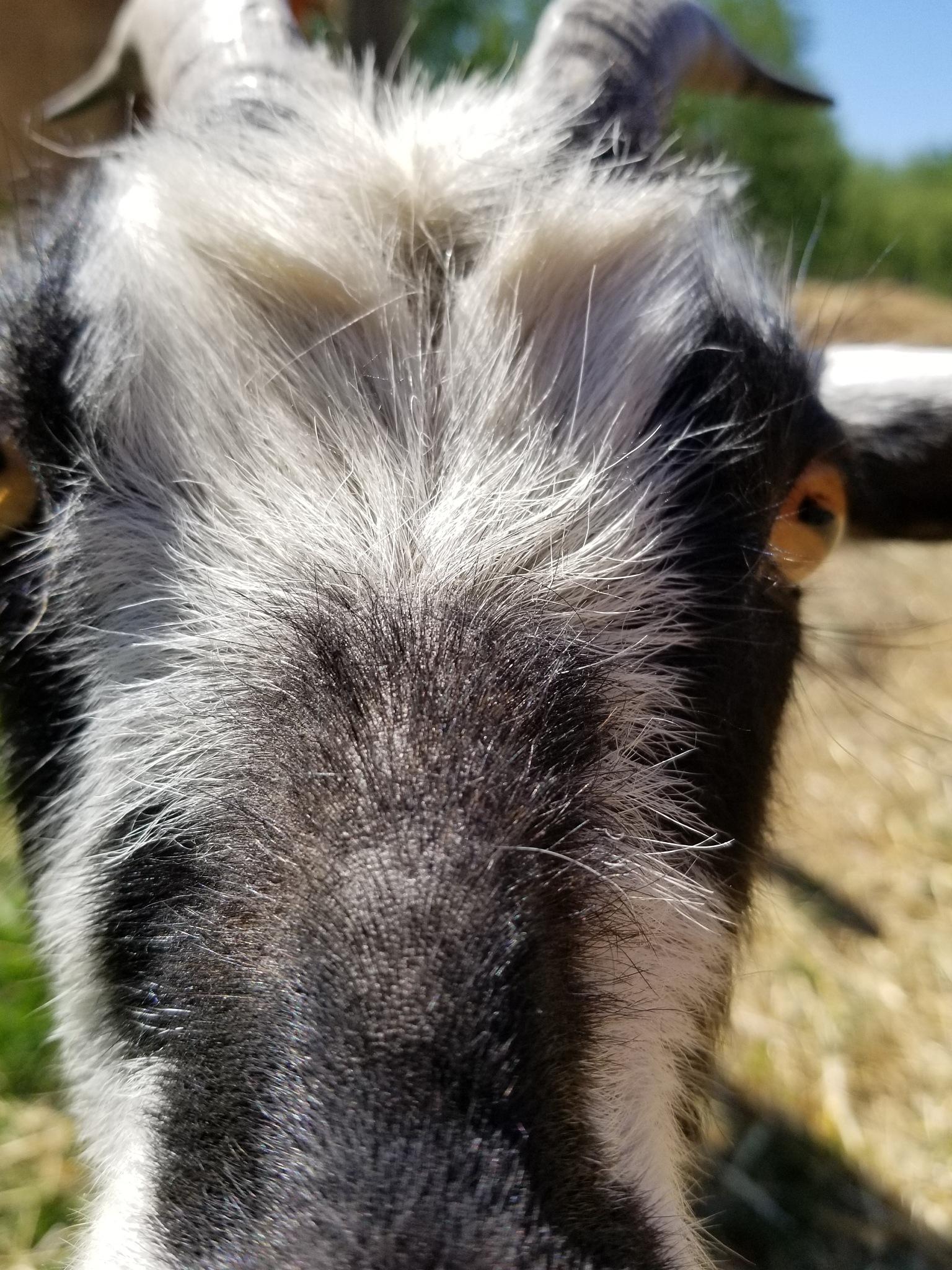 Curious goat. by Amanda Kohlman