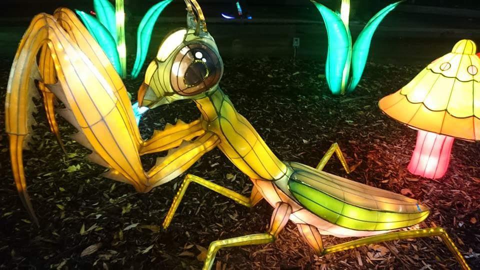 A praying mantis lantern in illuminasia at the Calgary Zoo! by Amanda Kohlman