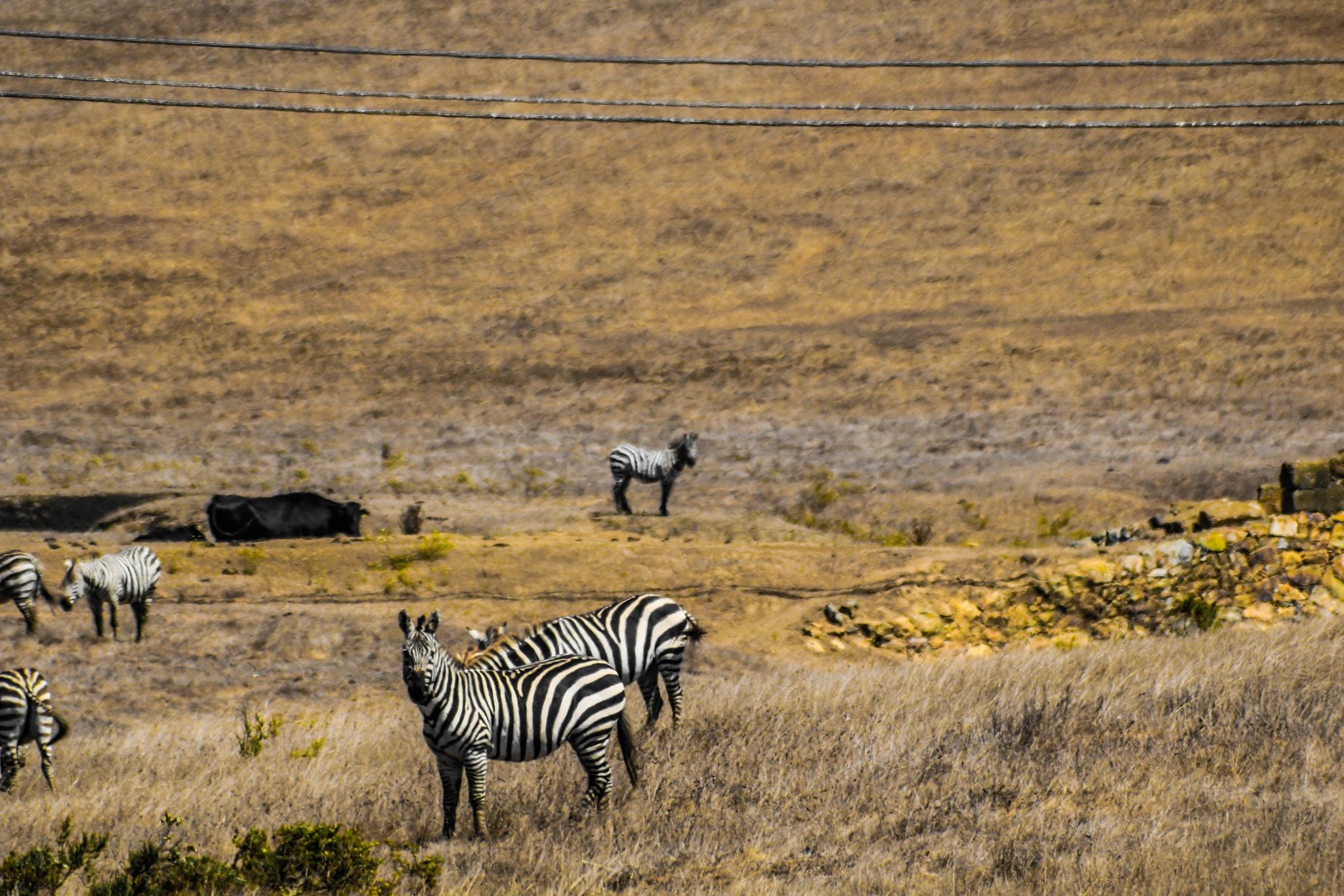 Wild California Zebra by Ted Fletcher