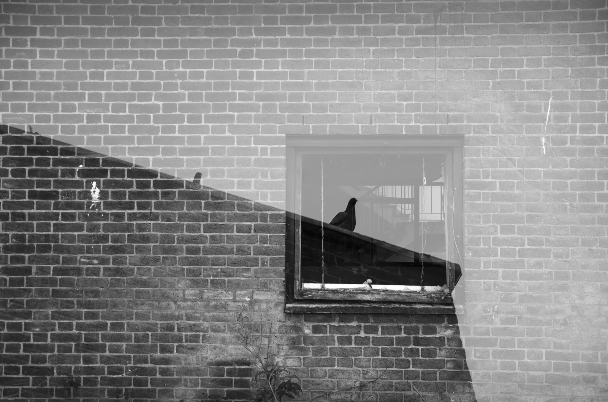 Pigeon by ChrisBowers