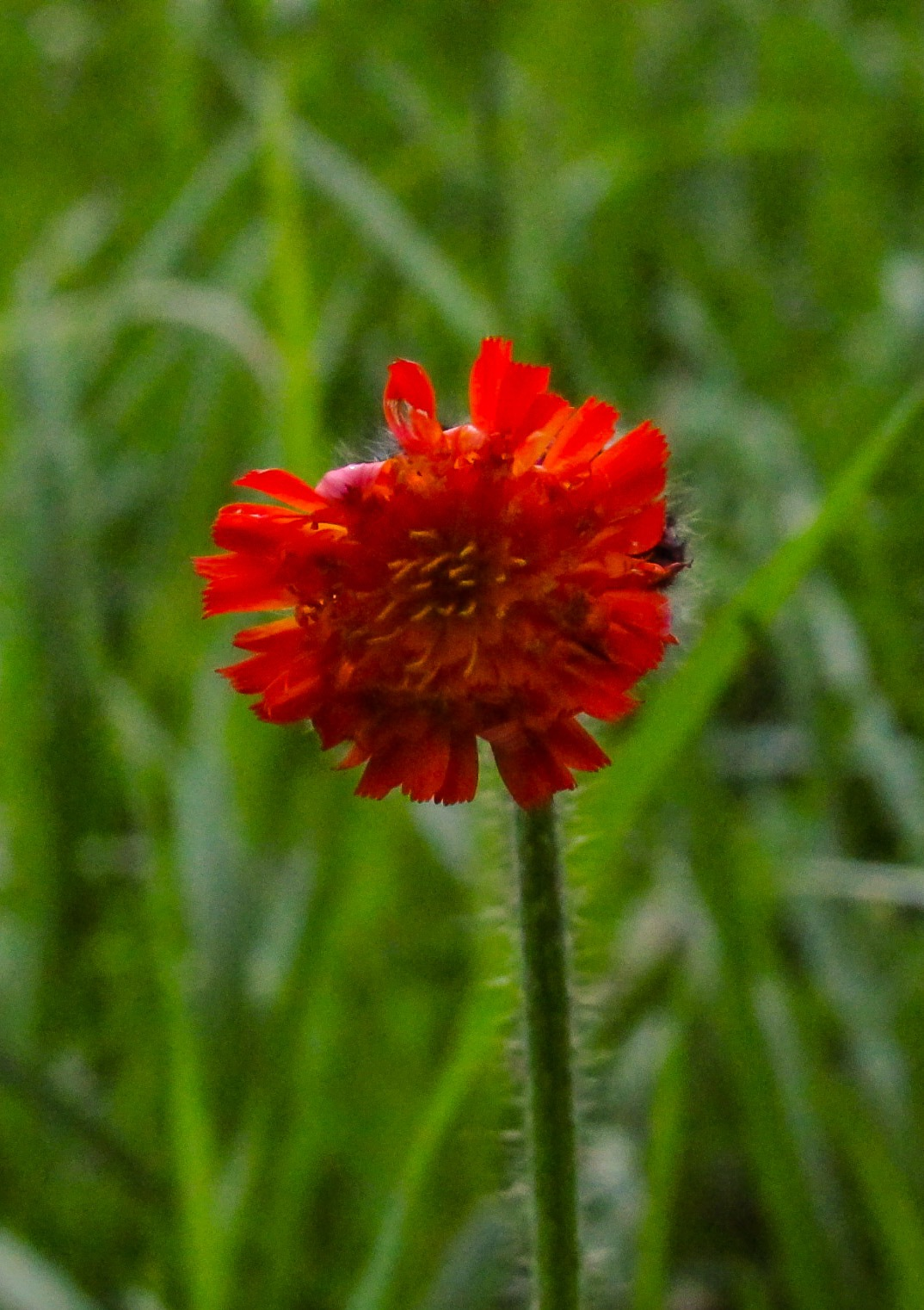 Orange Hawkweed  by SwetavagePhotography