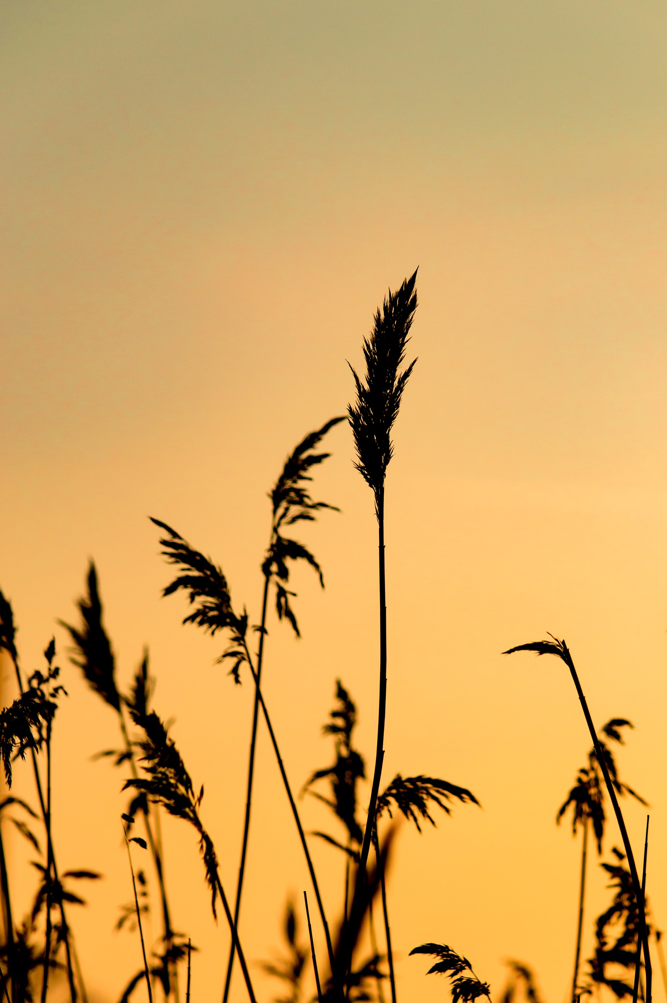 Golden hour grasses by Dan Sealey