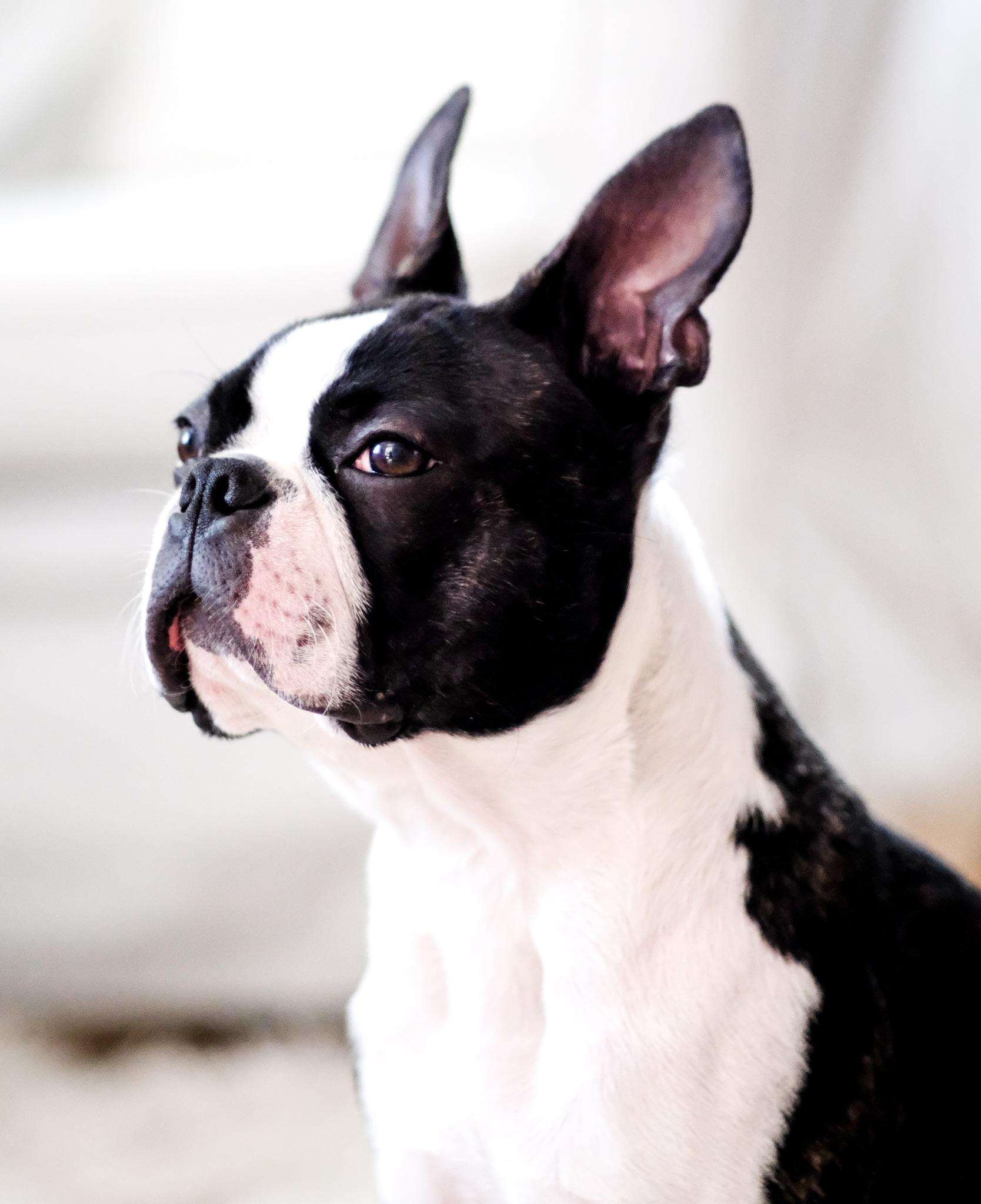 Ukko, my Boston terrier by Vesa Miettinen