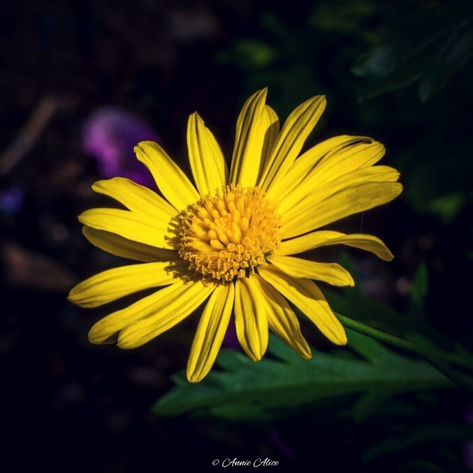 yellow flower nature by Annie Alice