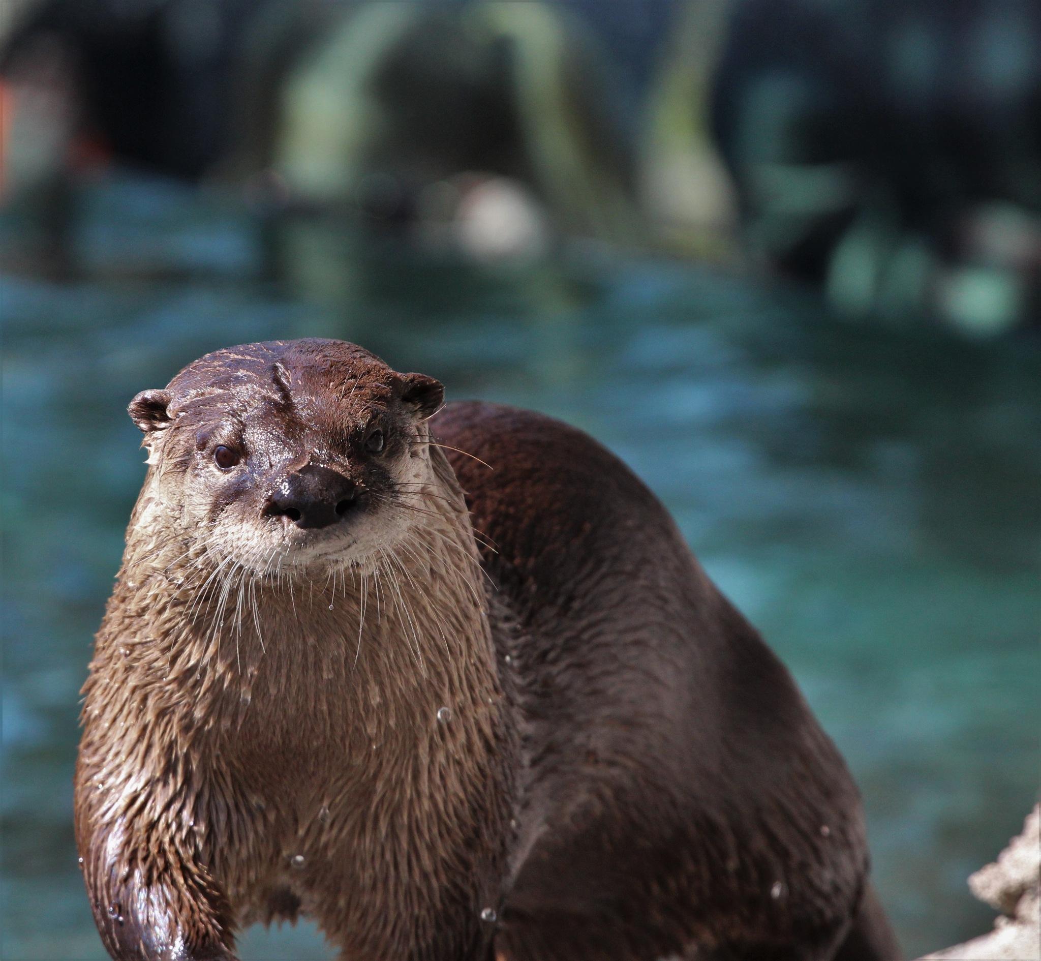 River otter by George Keller