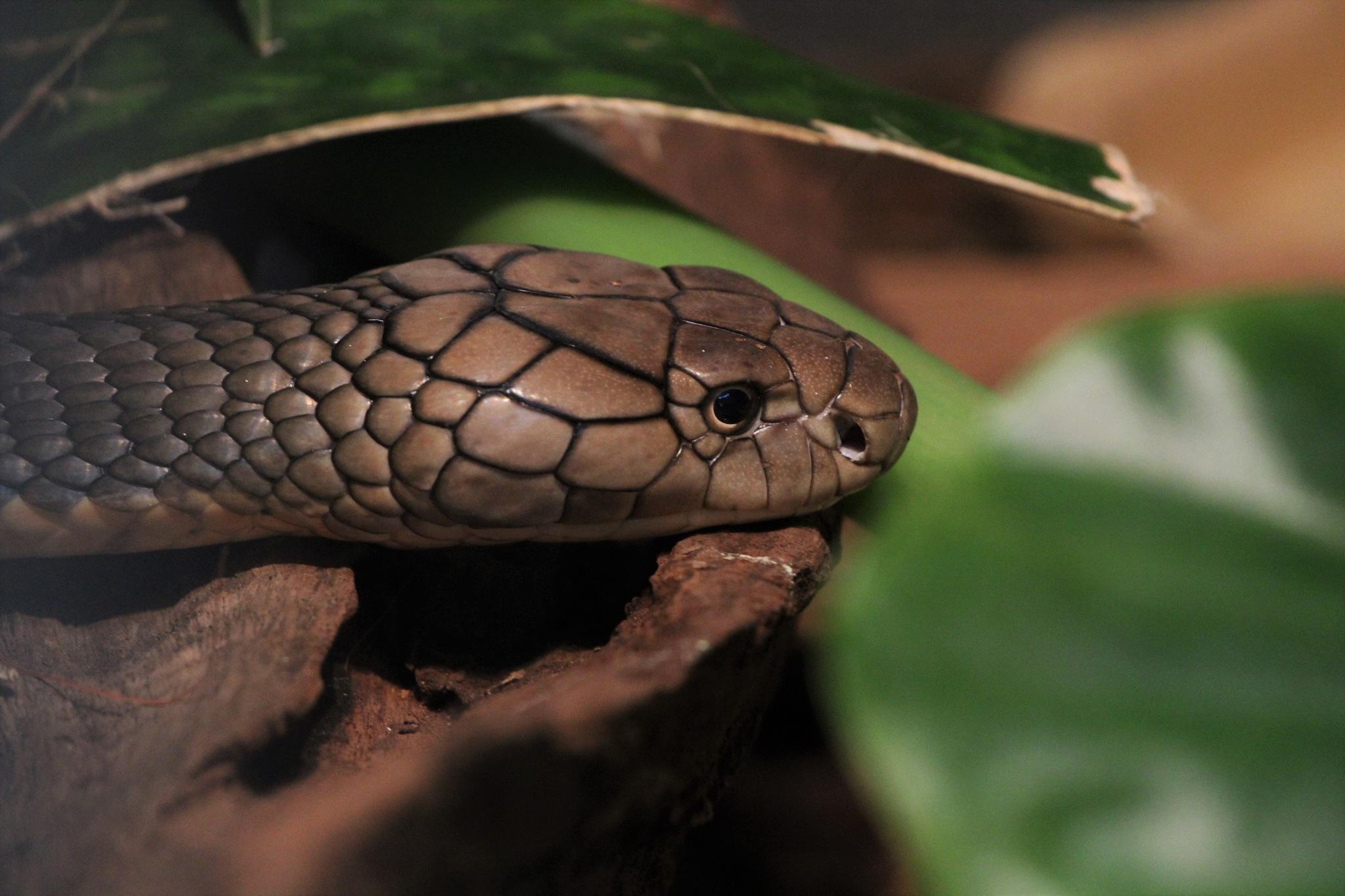 King cobra  by George Keller