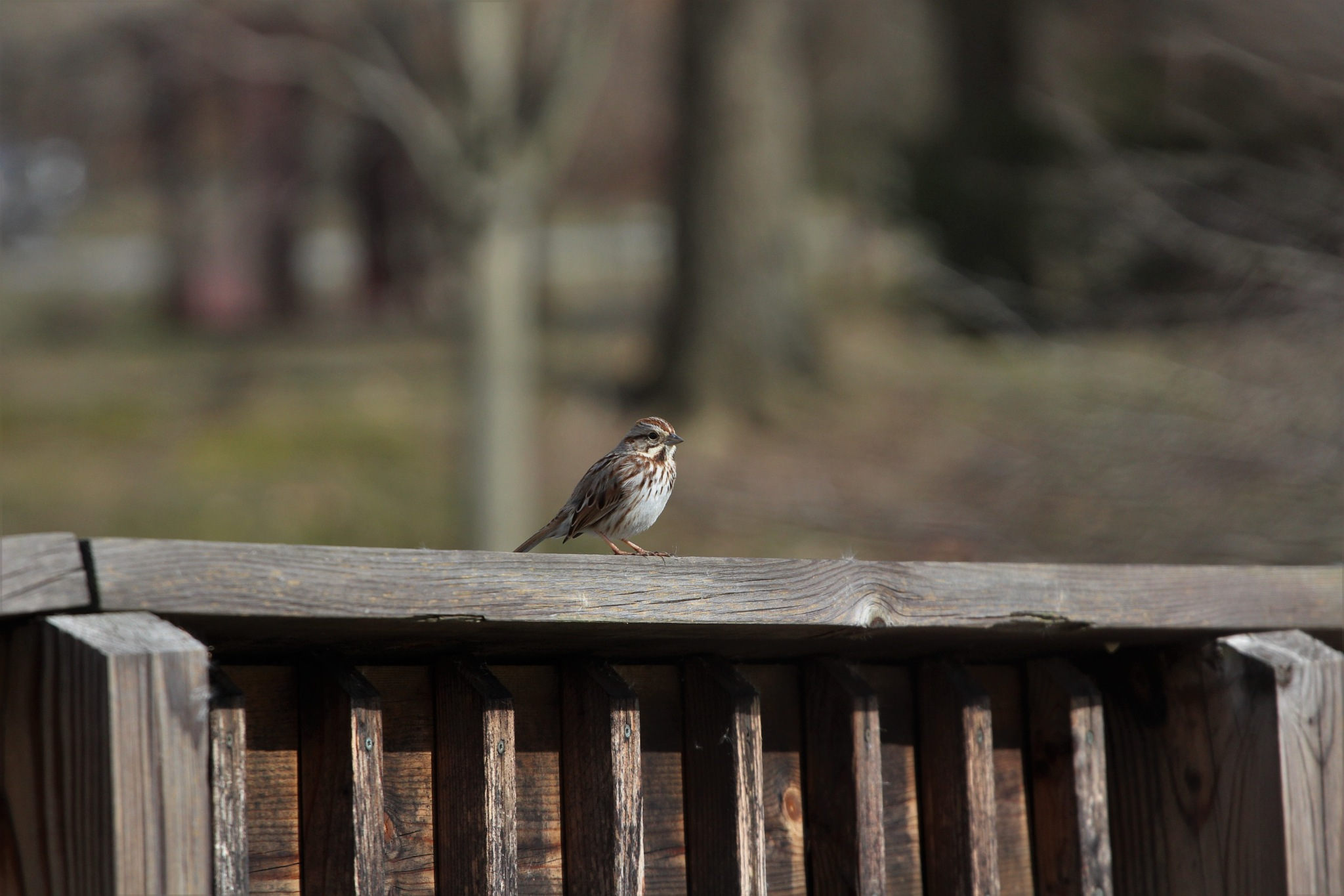 Song sparrow  by George Keller