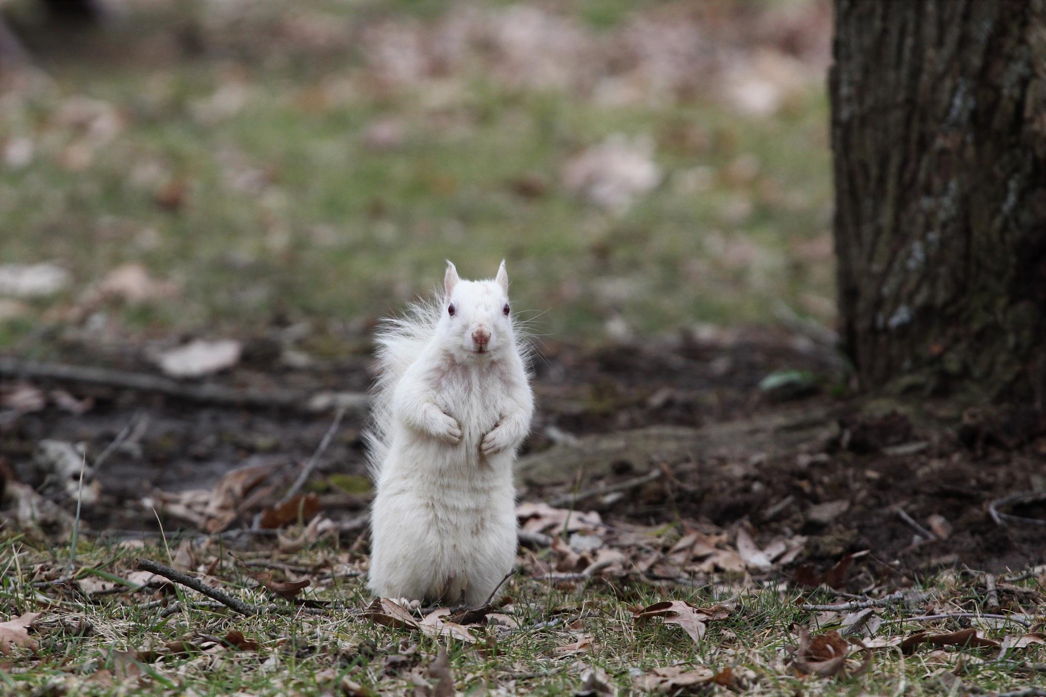 leucistic squirrel by George Keller
