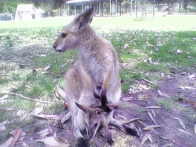 AUSTRALIAN WALLABY & BABY JOEY by  Dianne J. Larsen