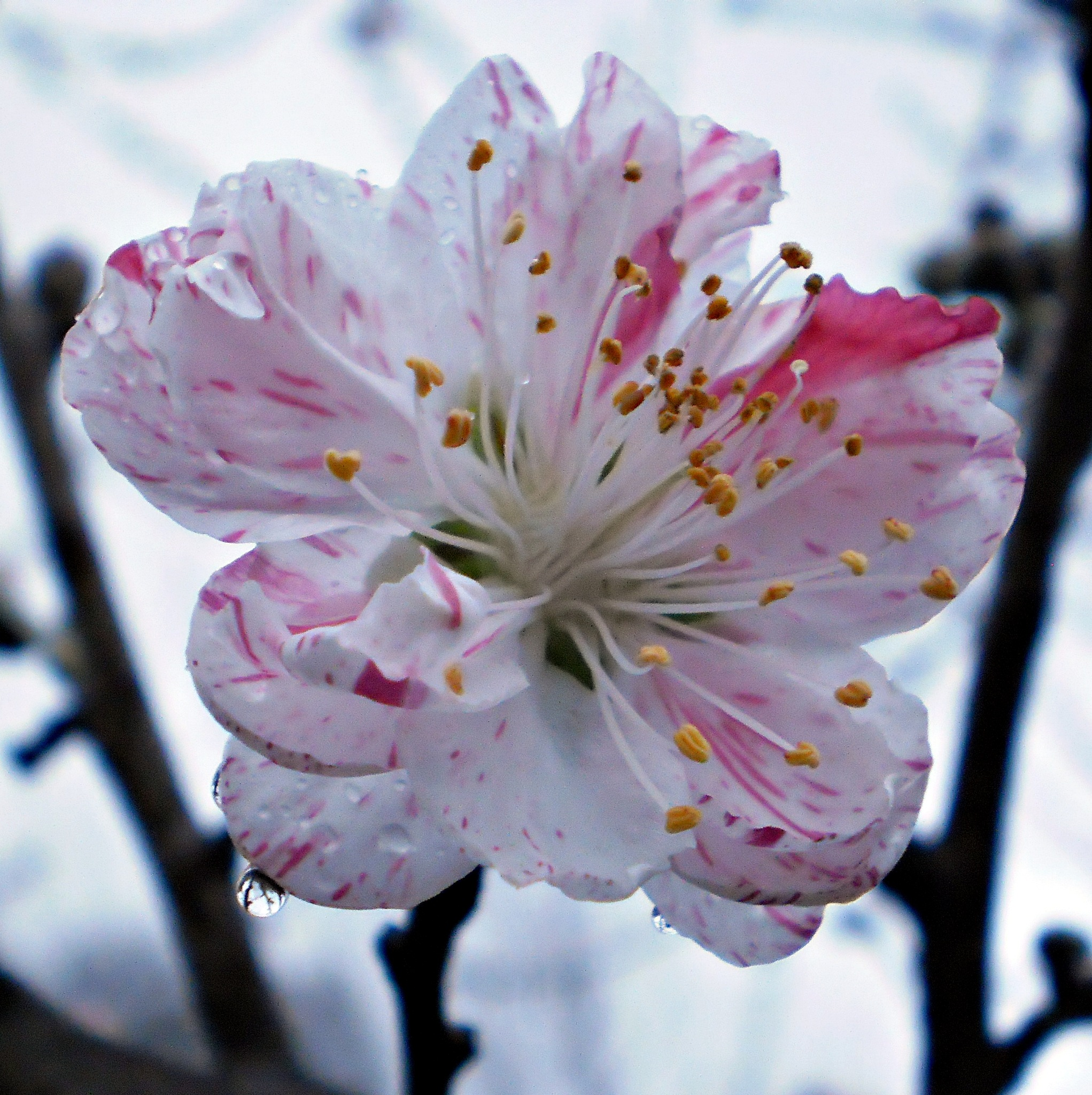 ORNAMENTAL VARIEGATED PEACH BLOSSOM by  Dianne J. Larsen