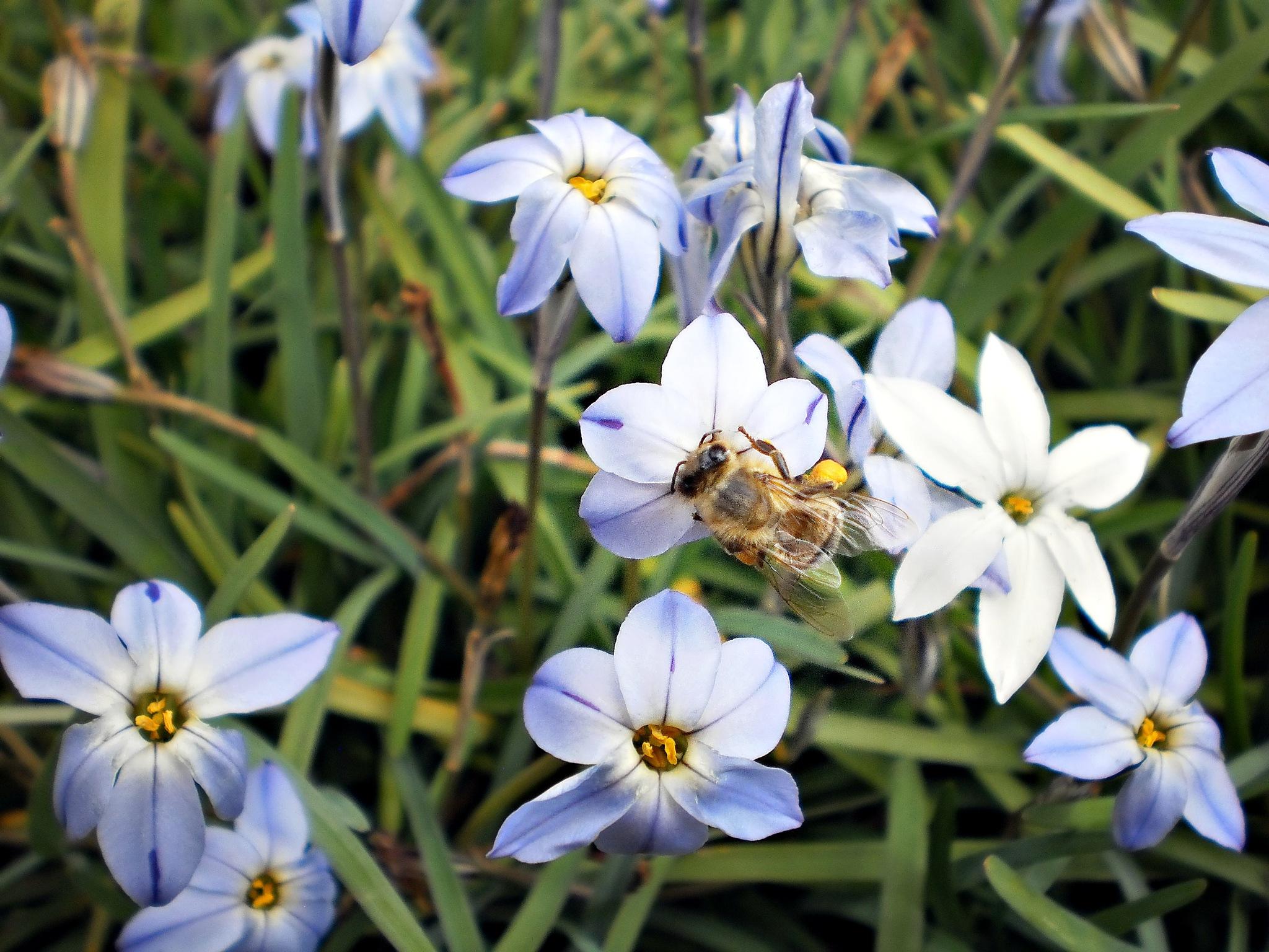 'SPRING STARS' & A BEE IN MY GARDEN. by  Dianne J. Larsen