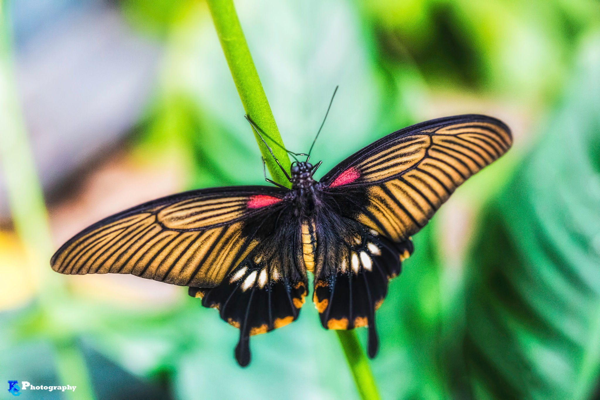 The Great Yellow Mormon by KCphotos57
