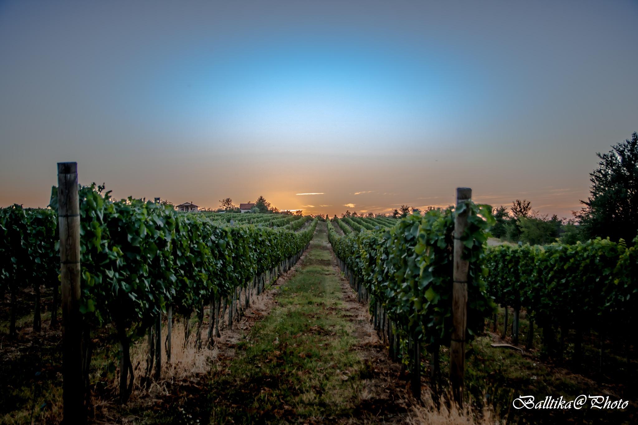 Vineyard by Sandrin