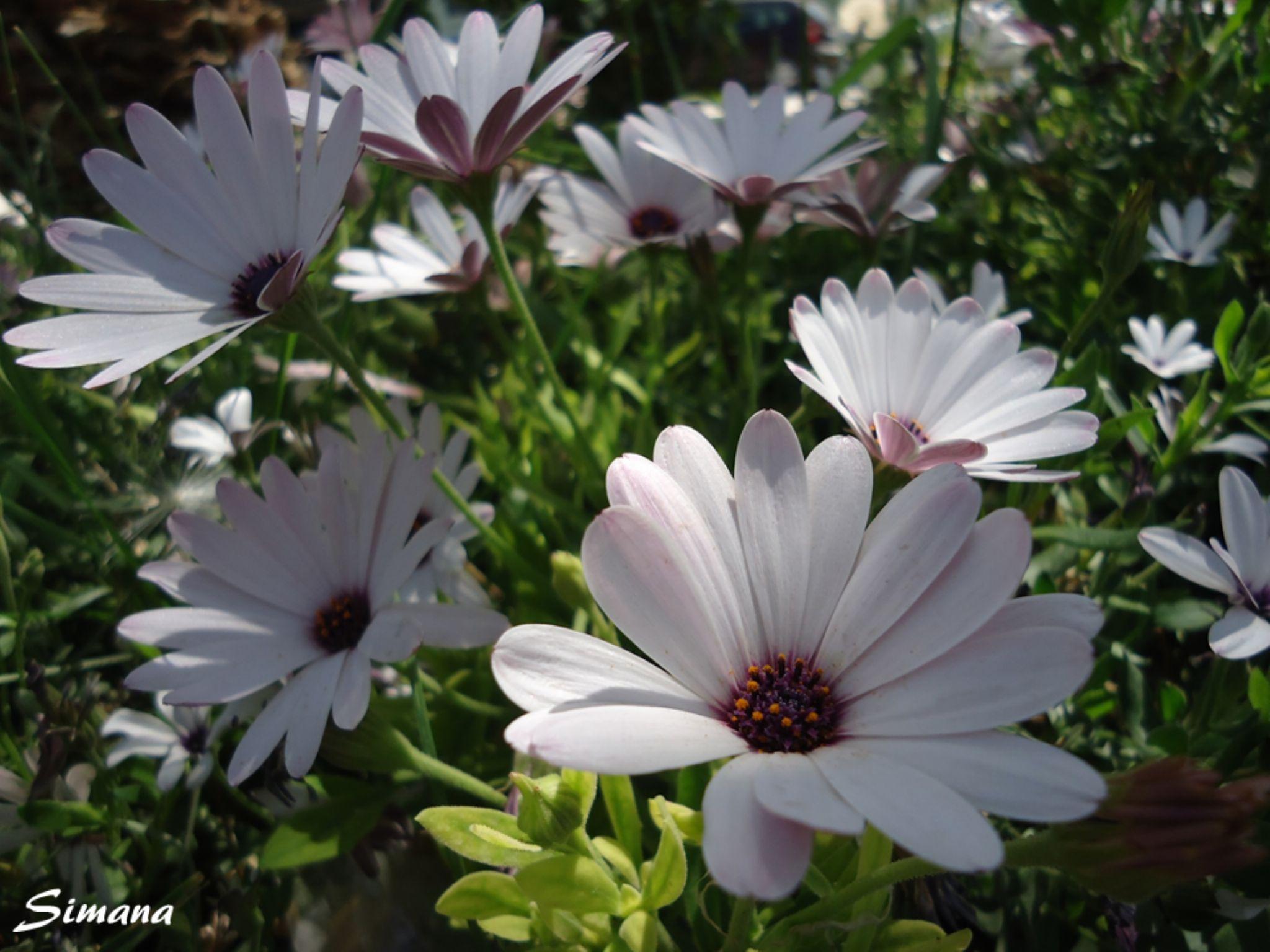 أزهار الربيع 5 by Asmahane Photography