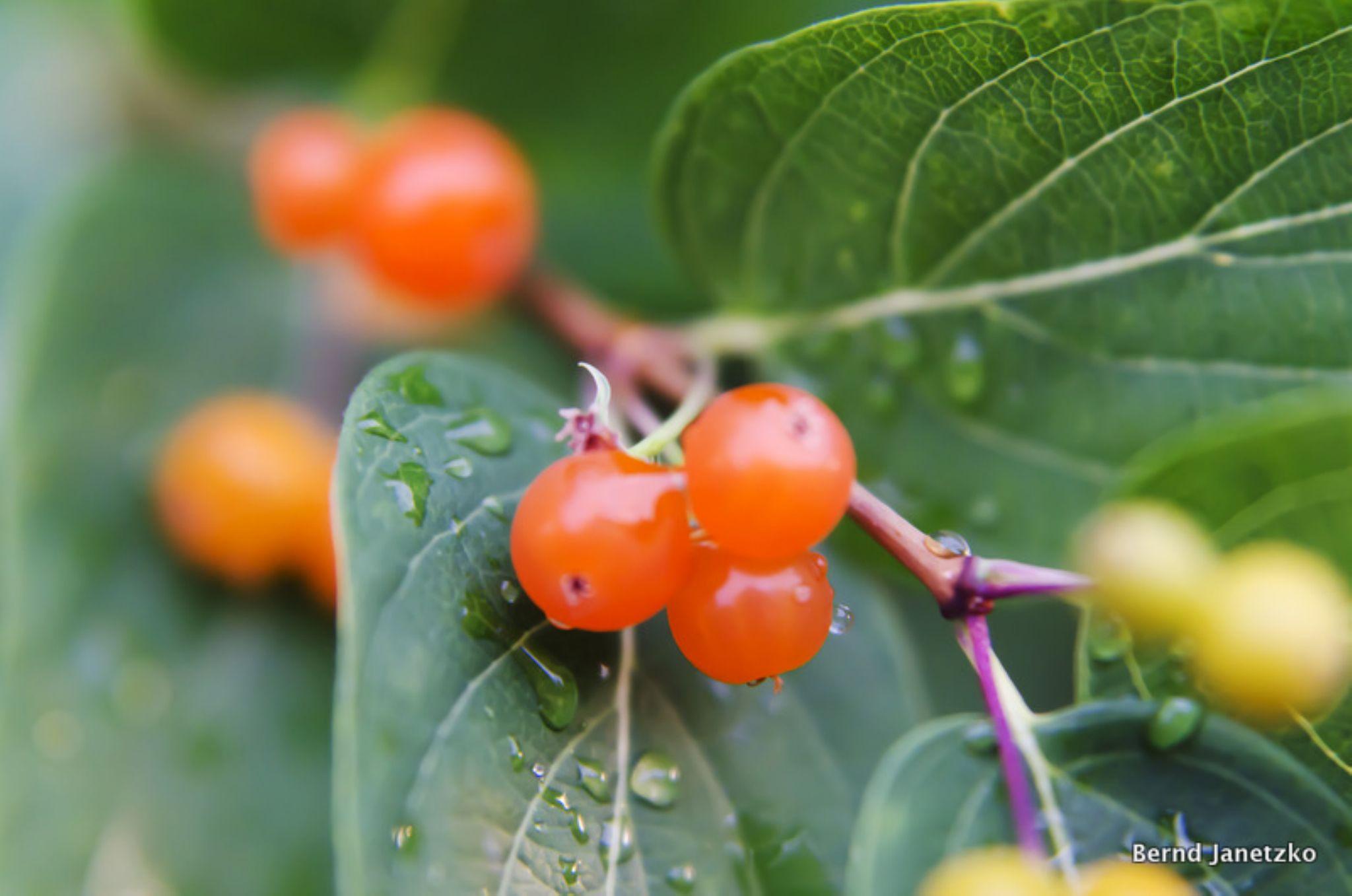 Berries by Bernd Janetzko