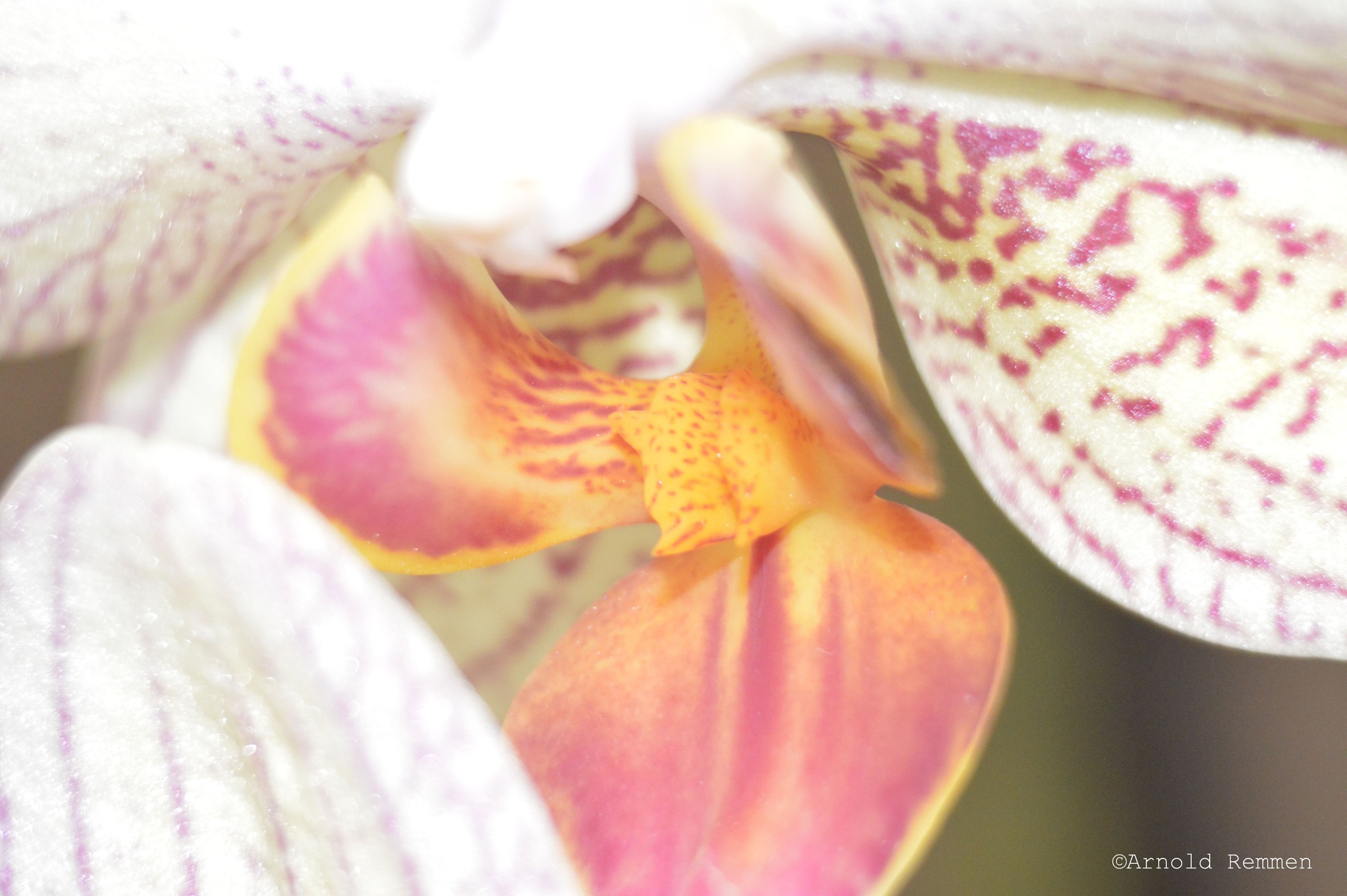 inside the orchid by Arnold Remmen