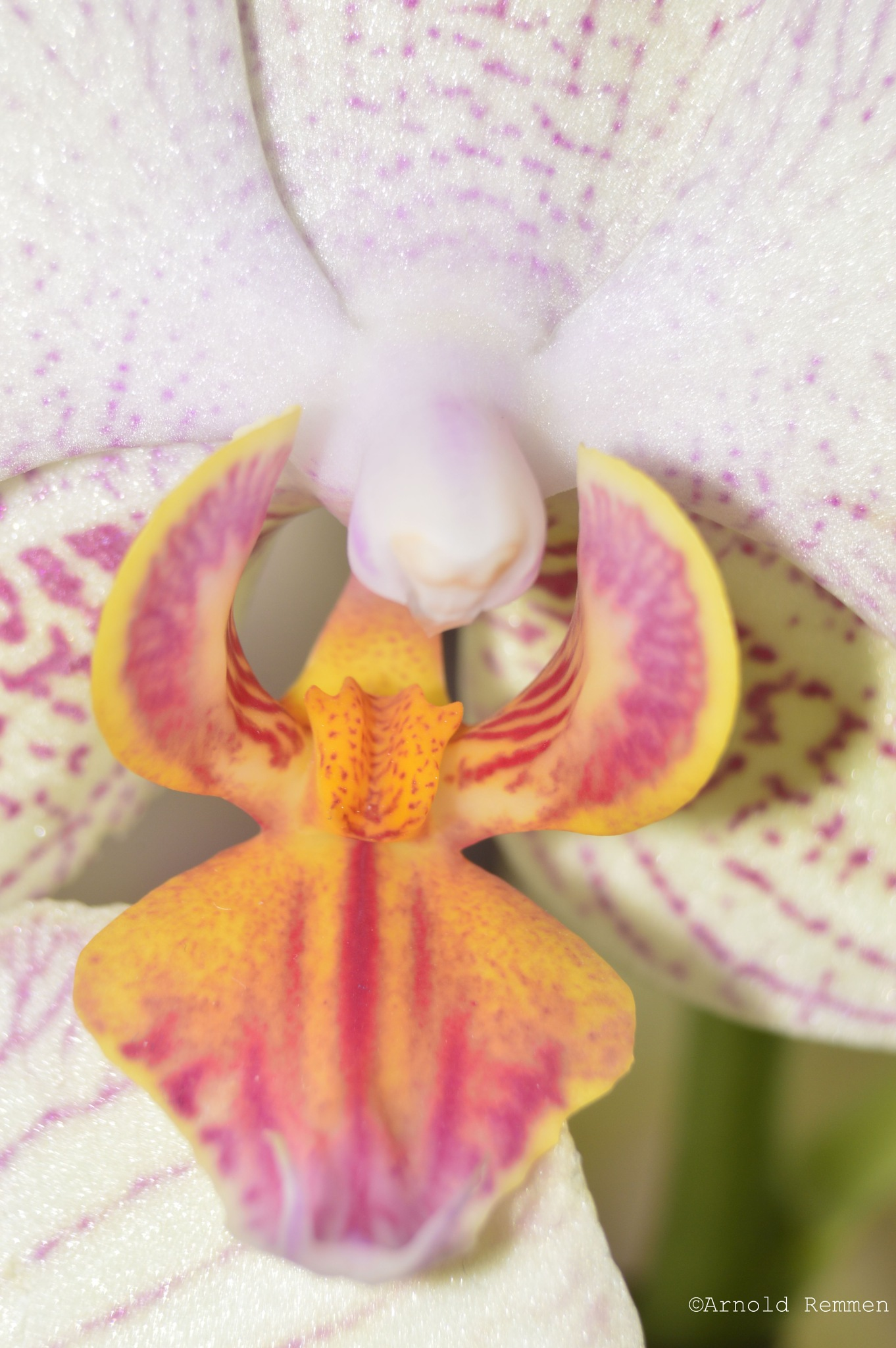 the magic is inside the orchid by Arnold Remmen